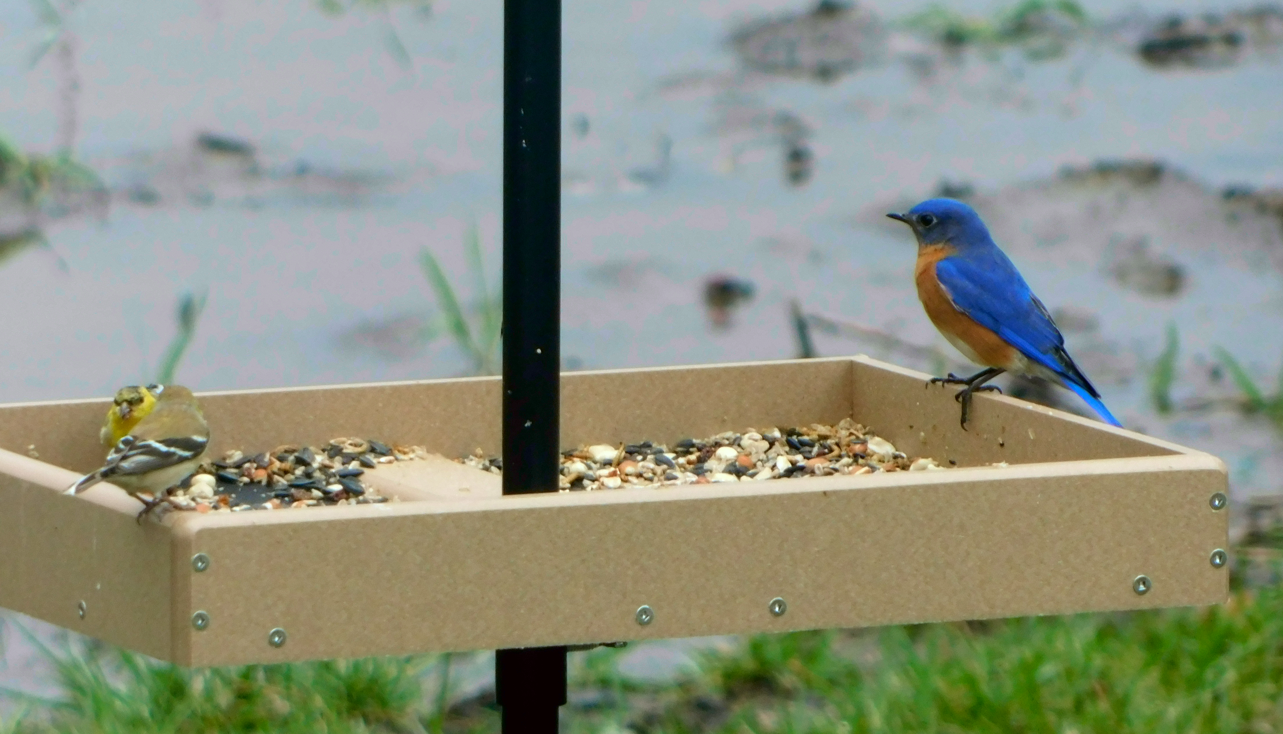 Eastern Bluebird and American Goldfinch