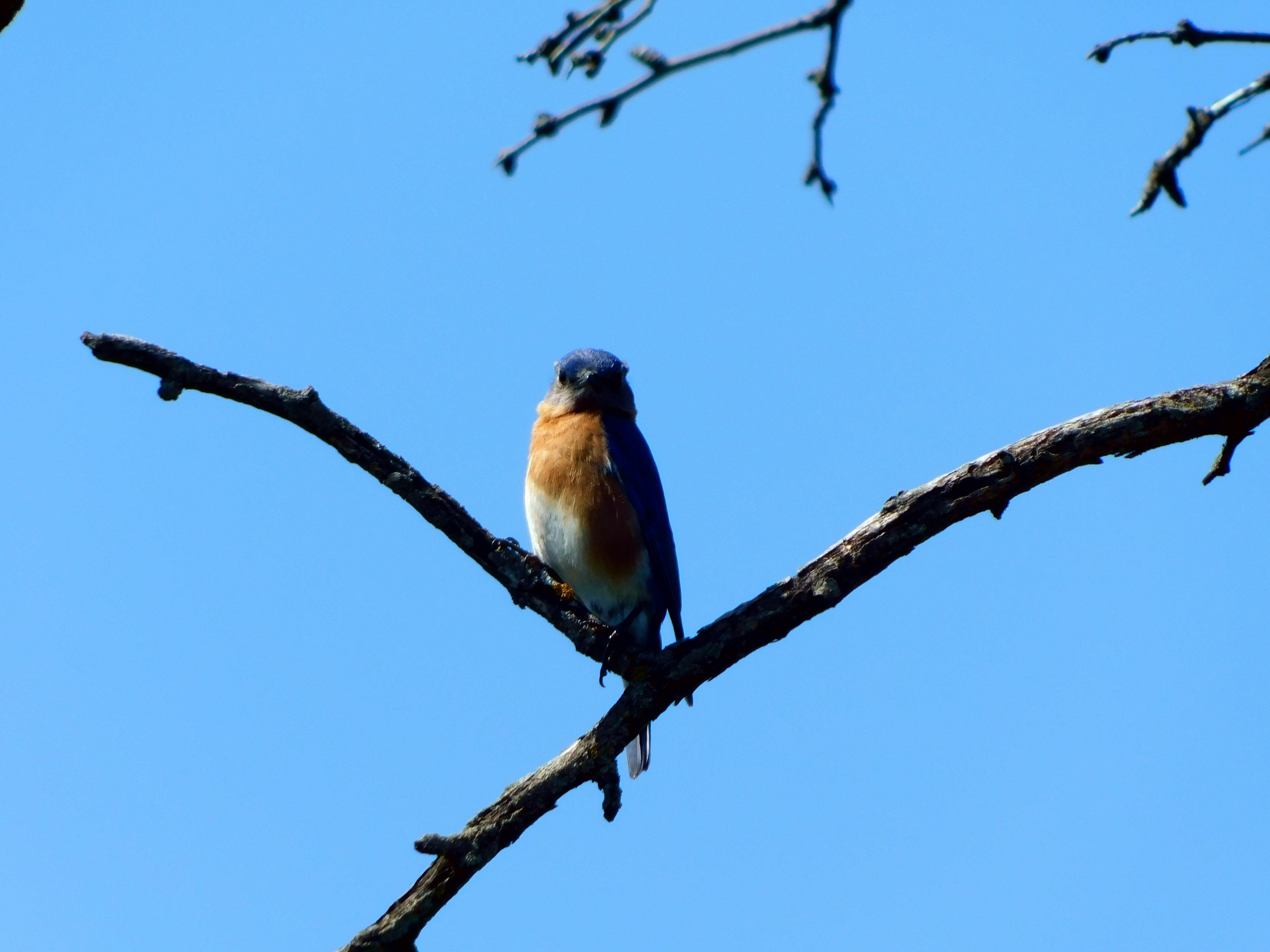 Female Eastern Bluebird in a Tree