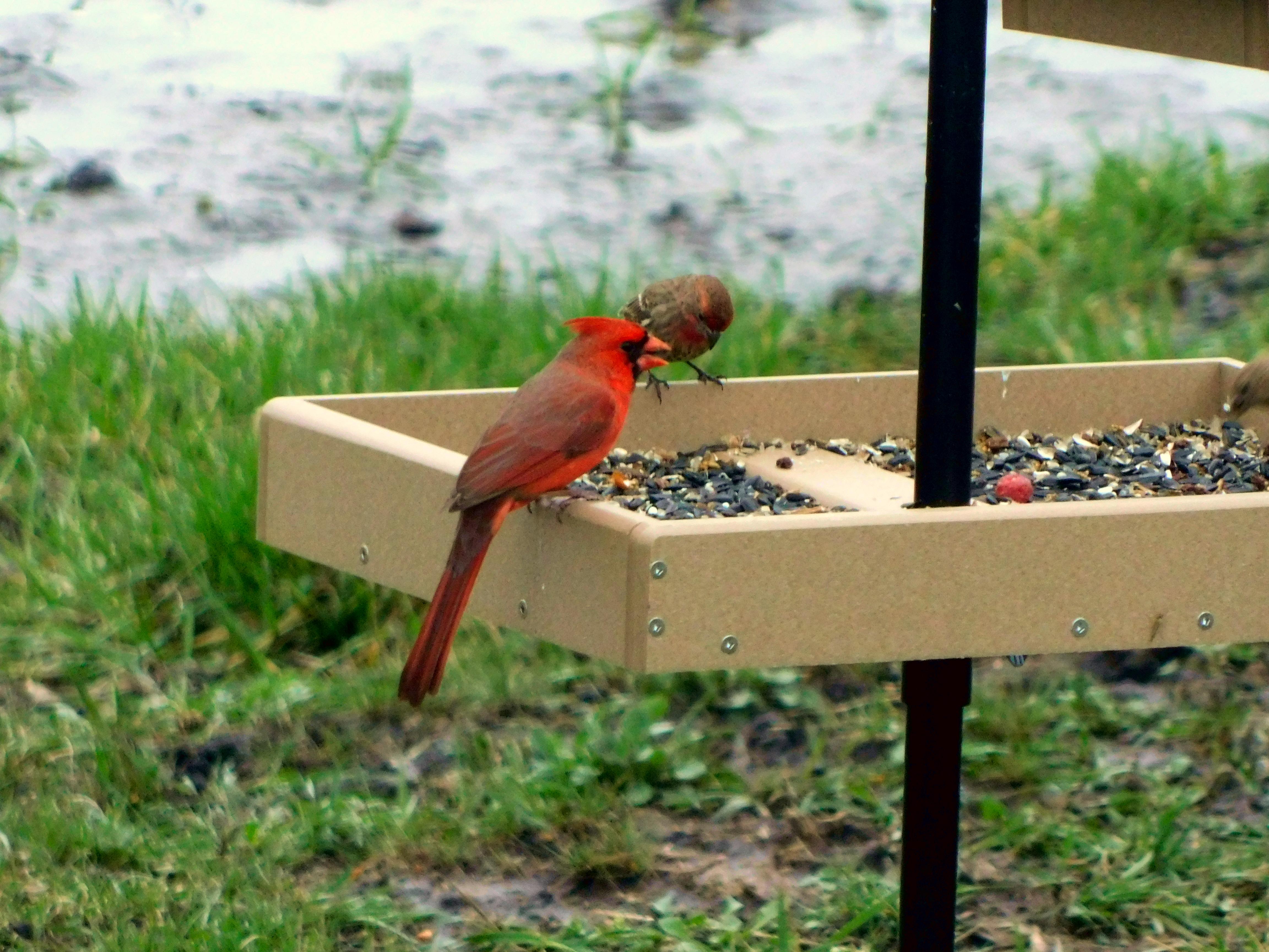 Northern Cardinal at feeder