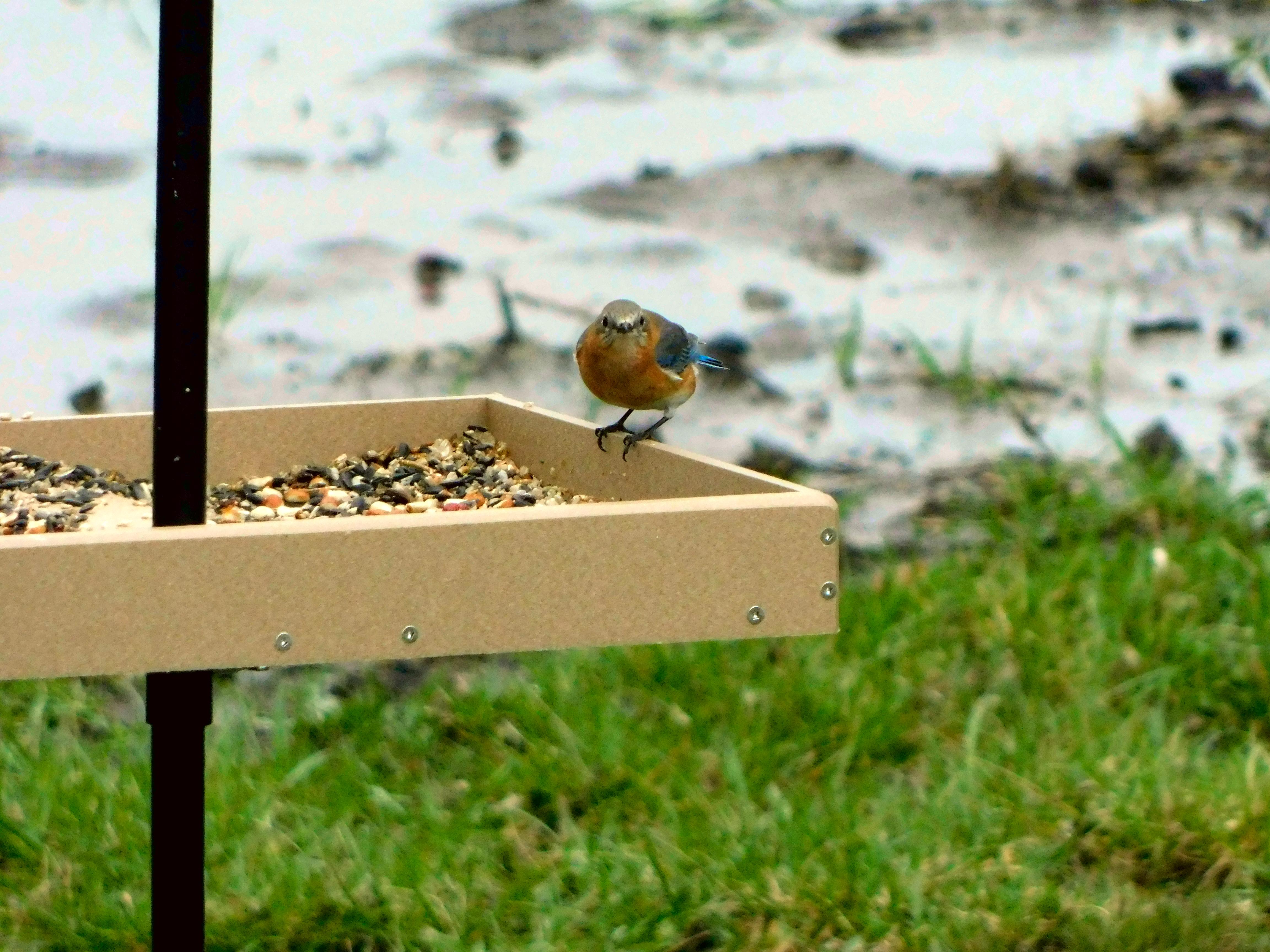 Curious Female Eastern Bluebird