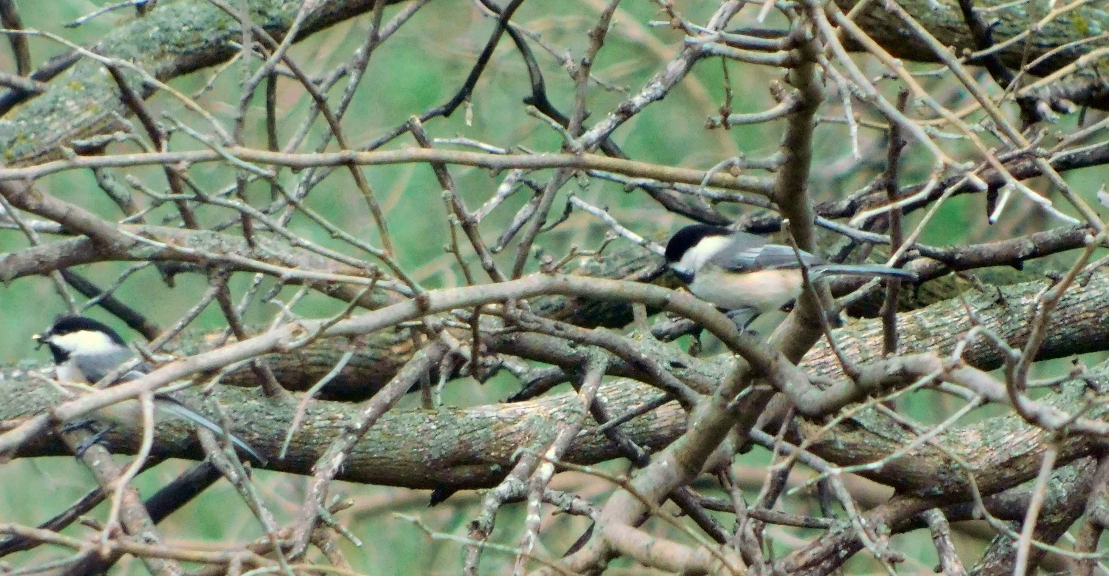 Two chickadees in a tree