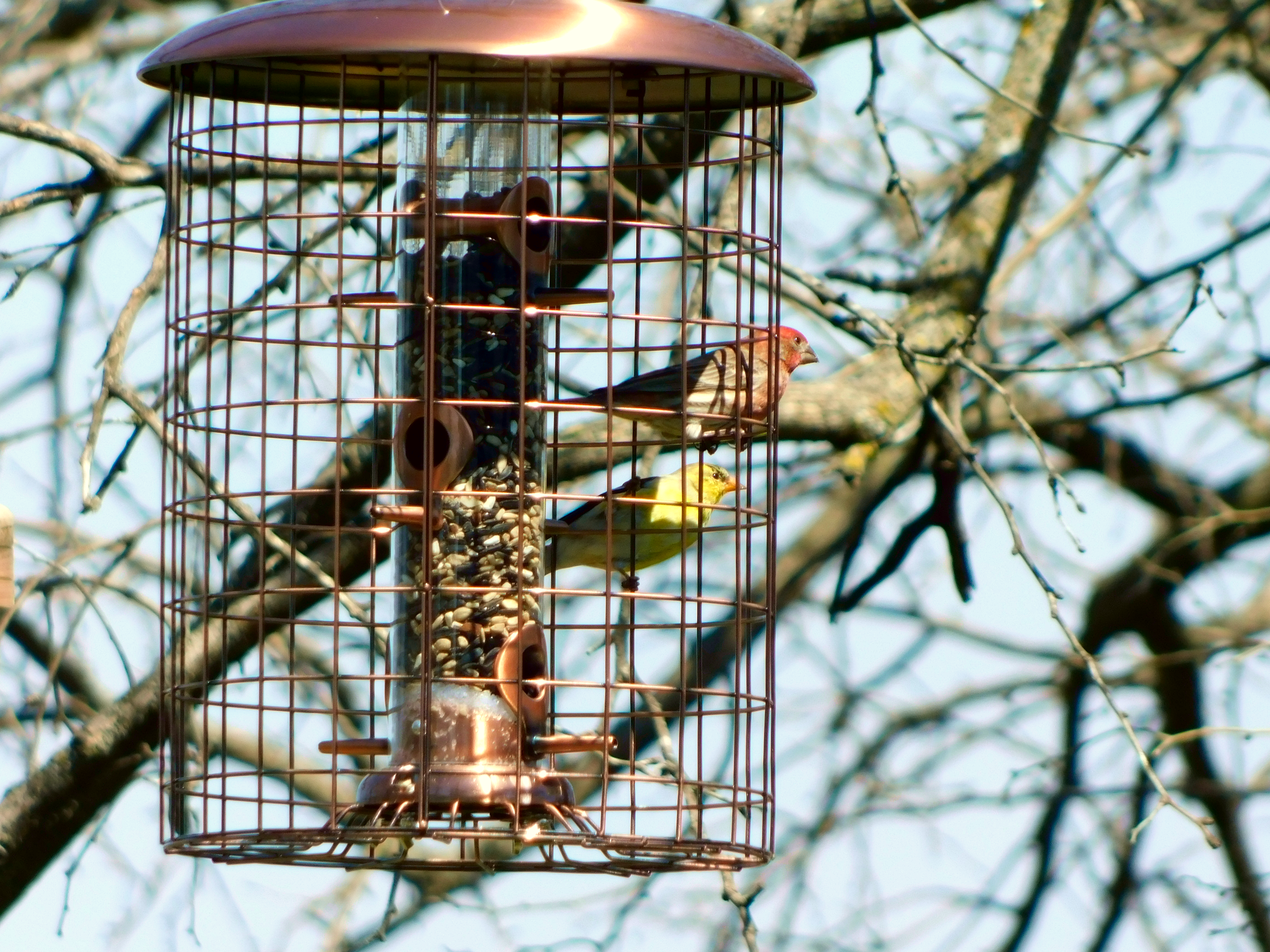American Goldfinch and House Finch at feeder