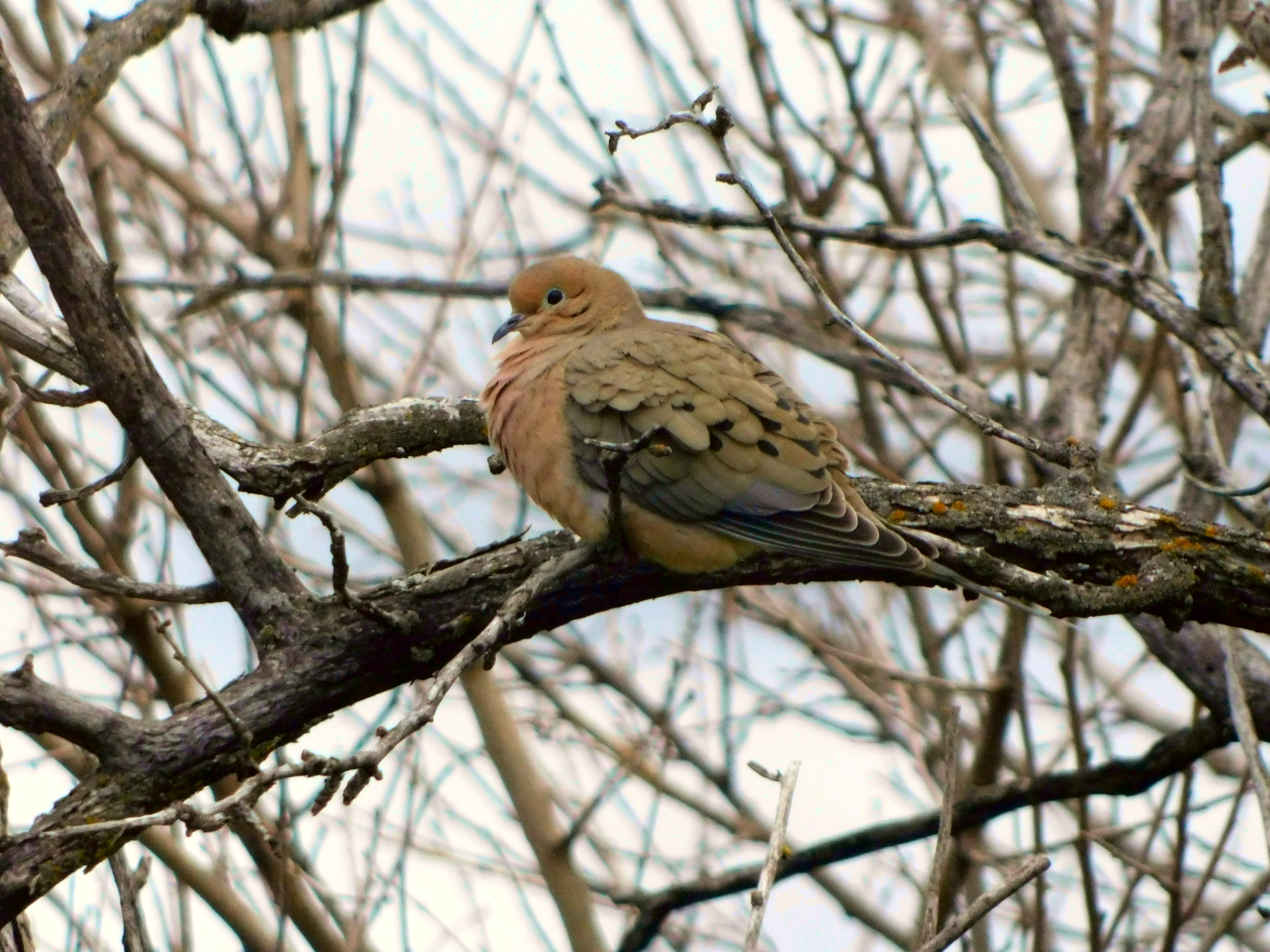 Large Mourning Dove
