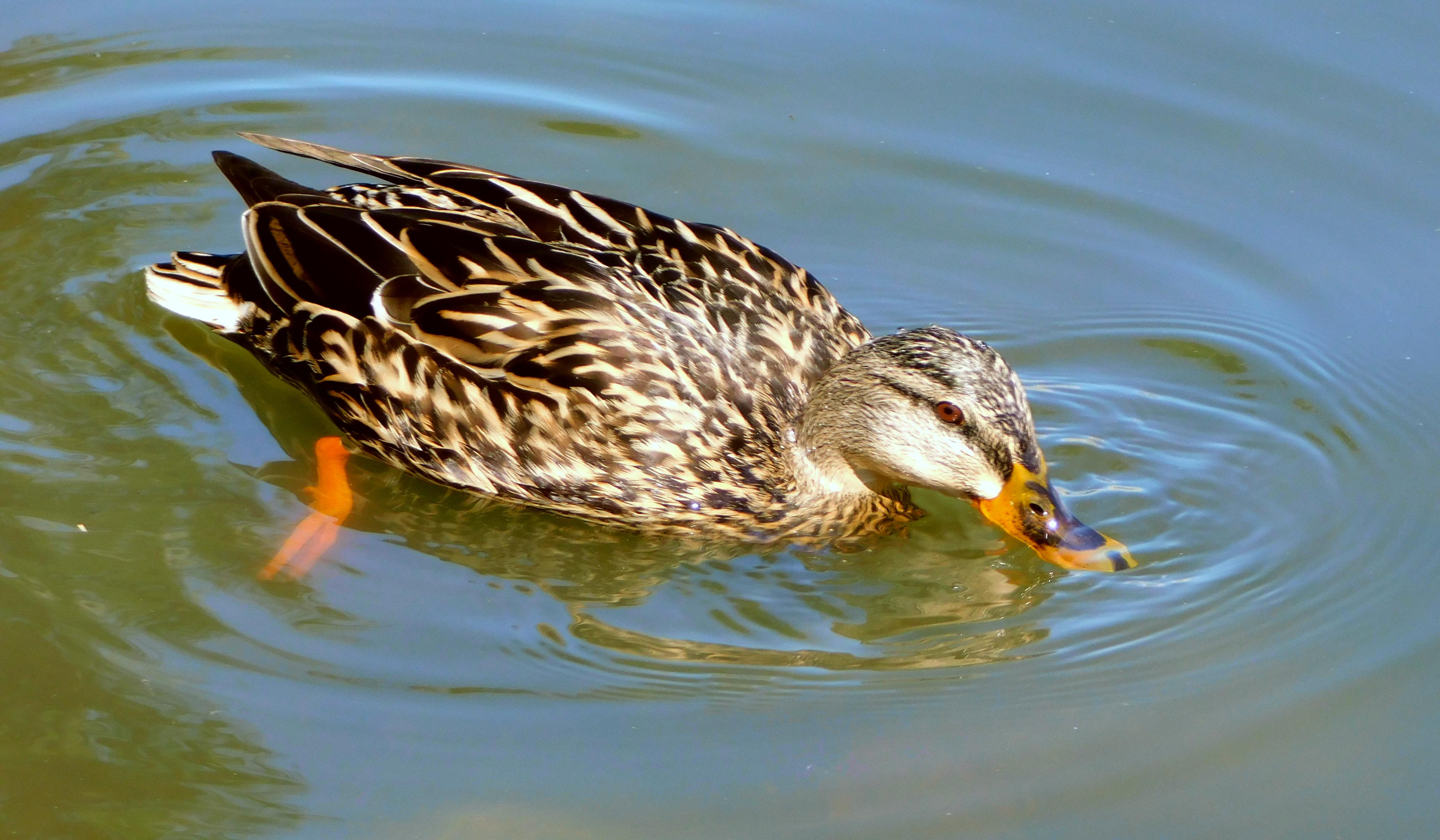 Female Mallard swimming