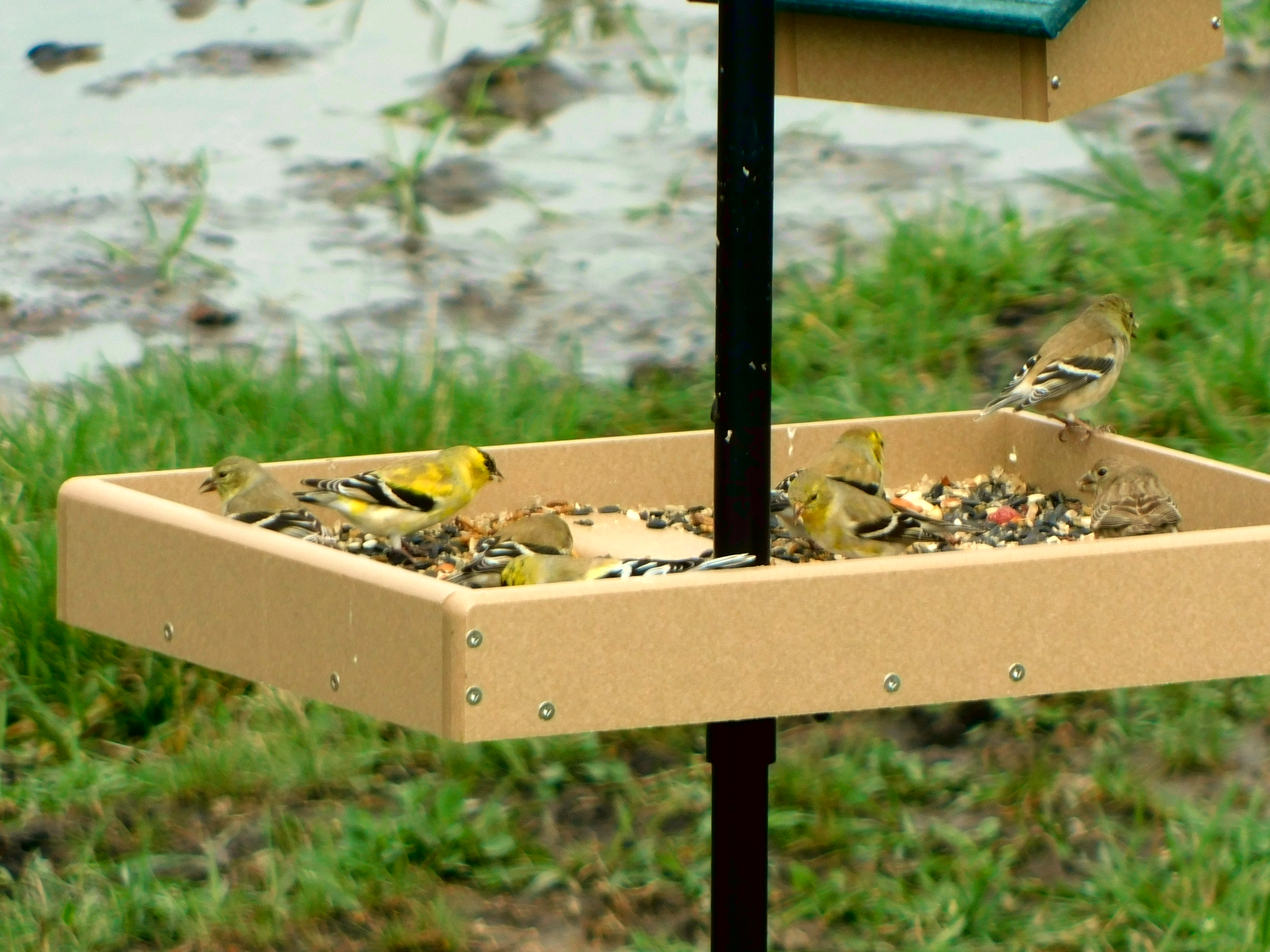Eight American Goldfinches eating