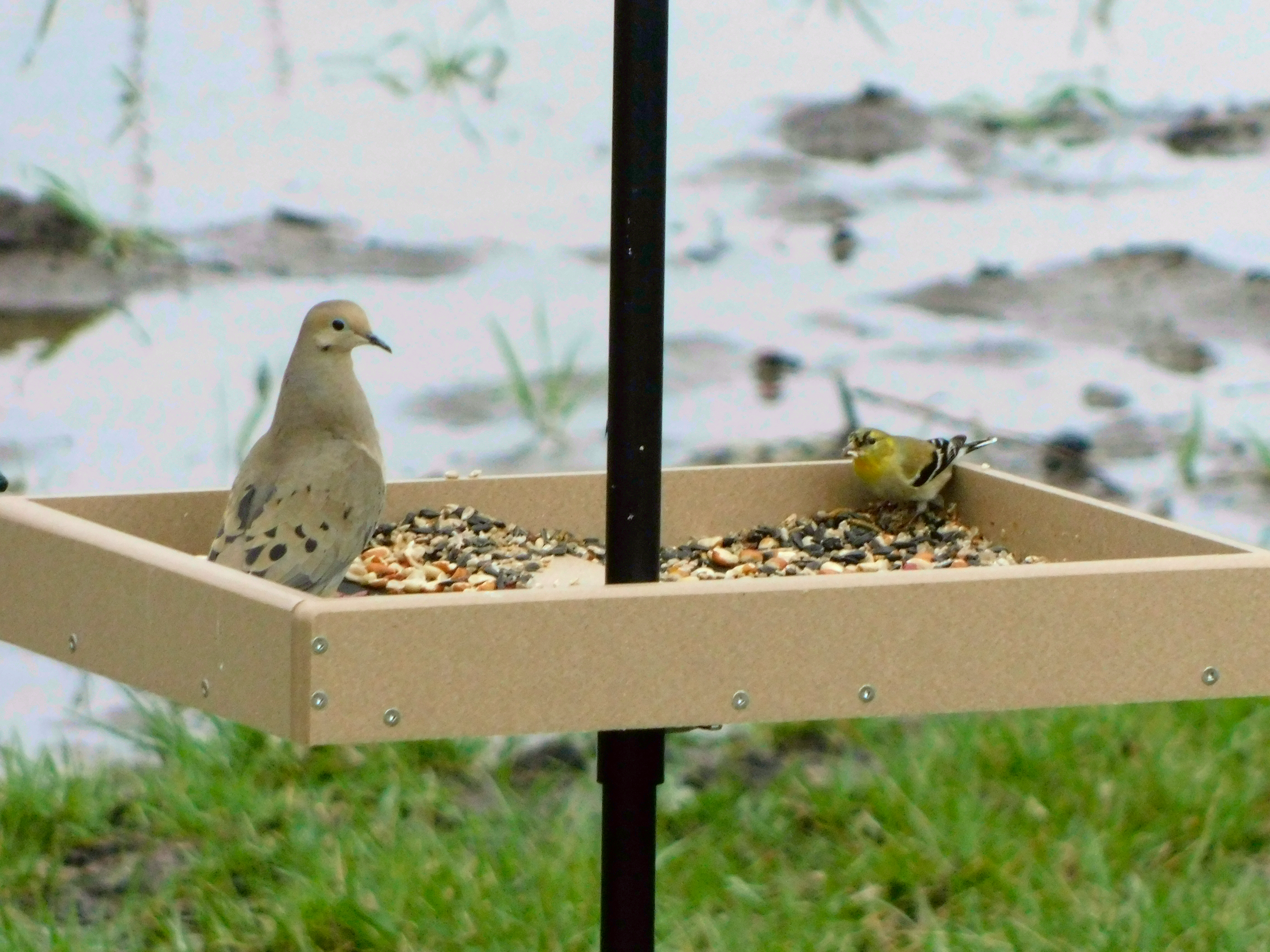 American Goldfinch carefully watching a Mourning Dove