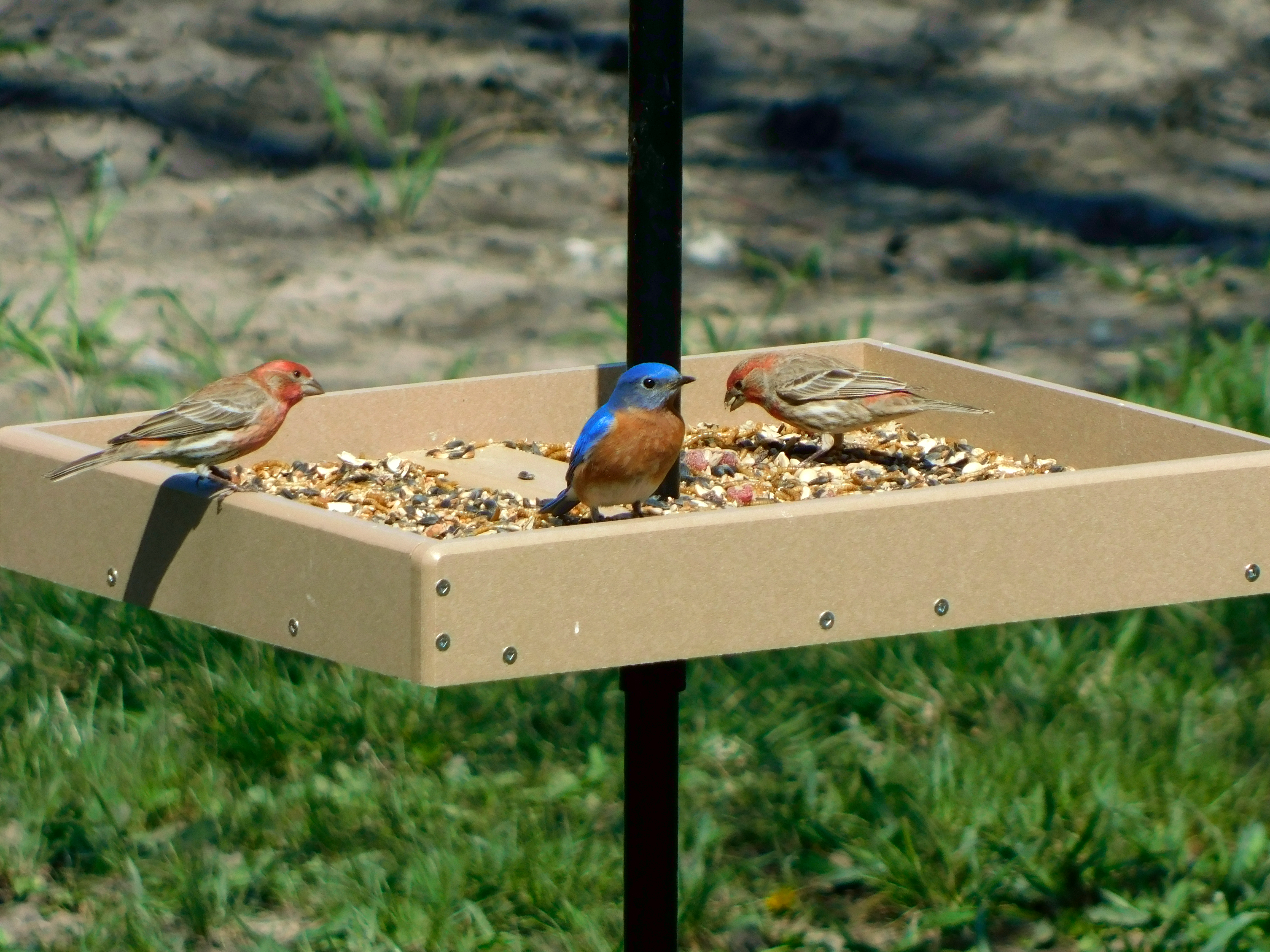 A pair of House Finches along with a male Eastern Bluebird