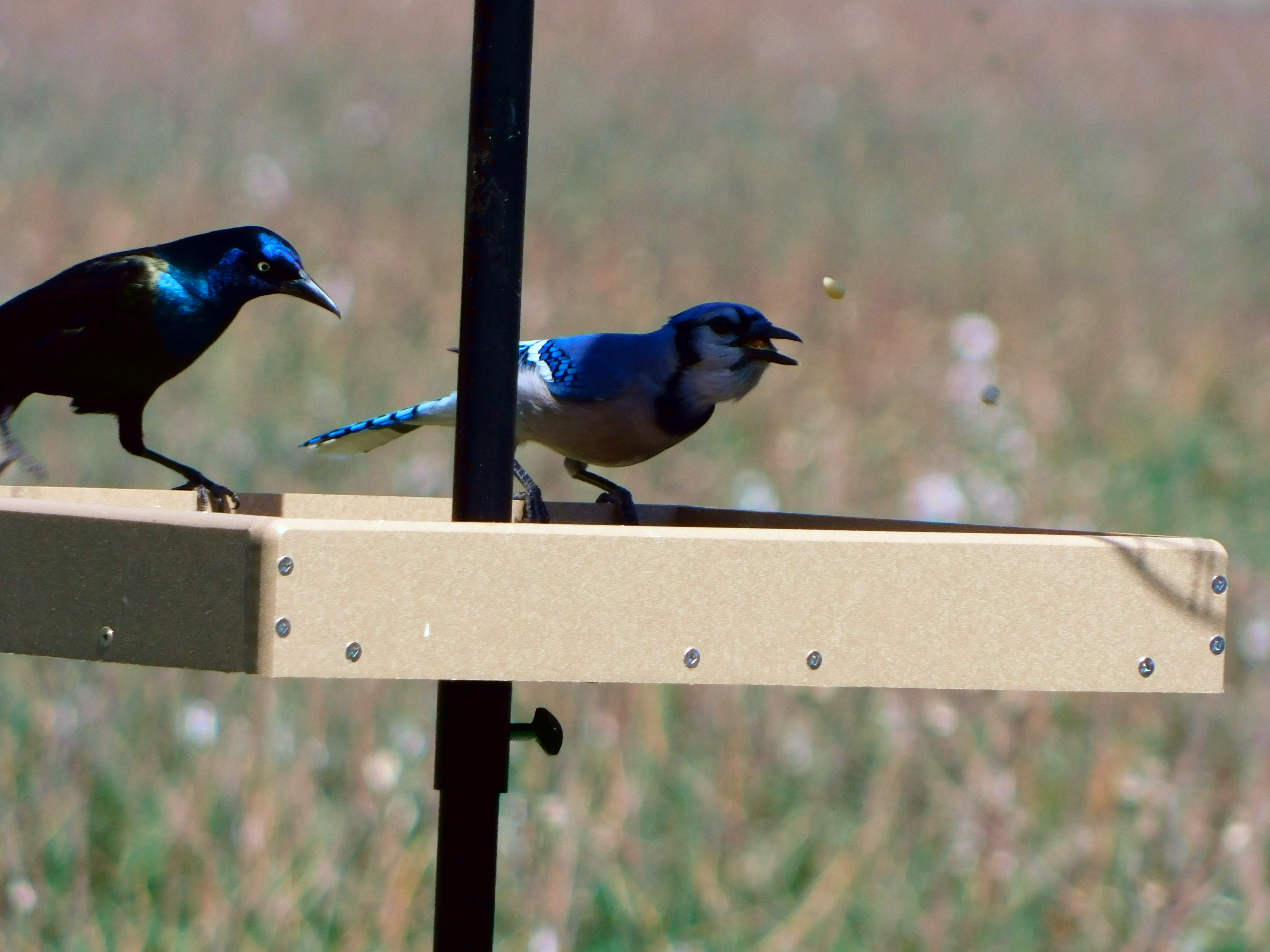 Blue Jay and Common Grackle