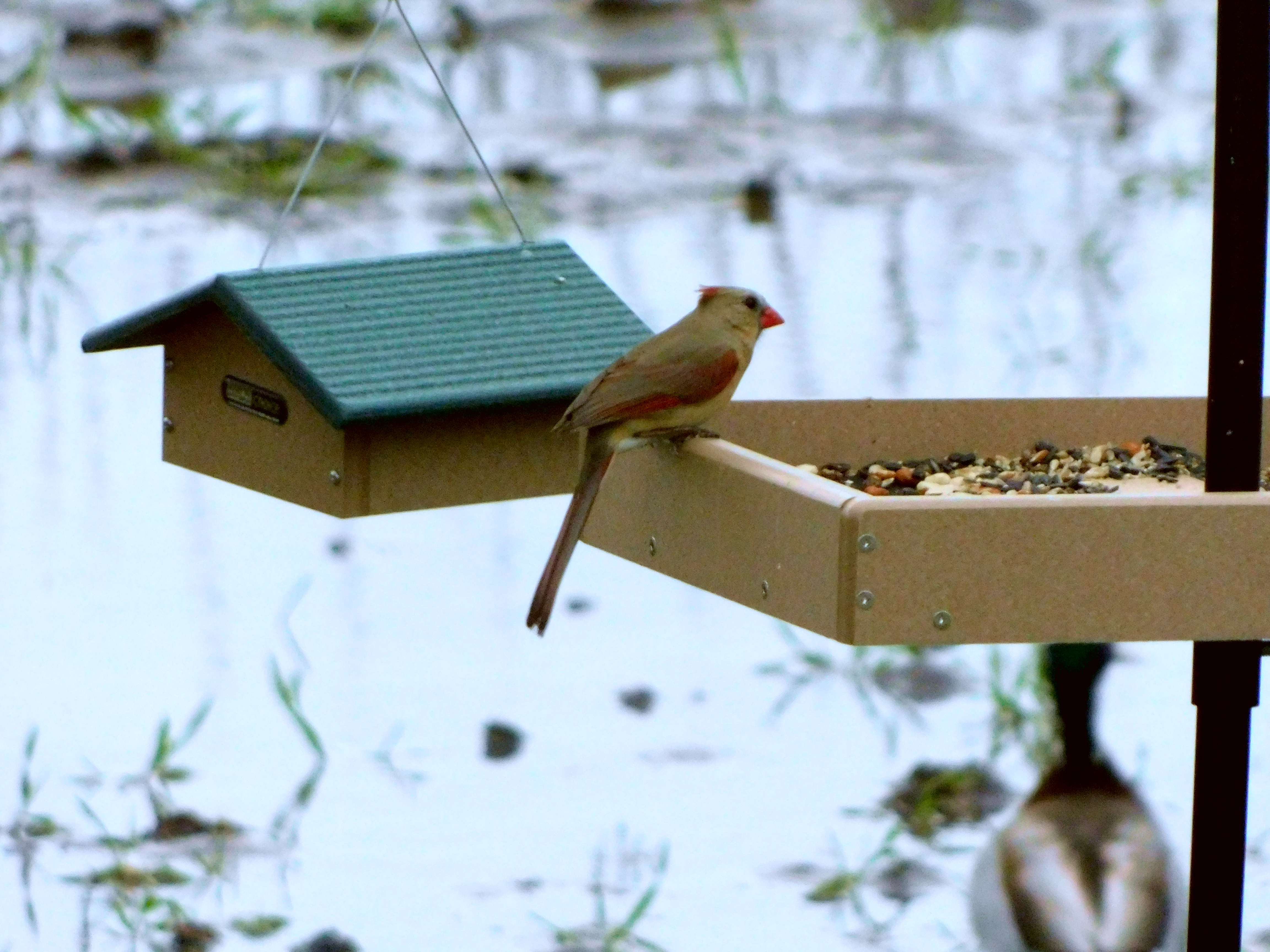 Female Nothern Cardinal at feeder