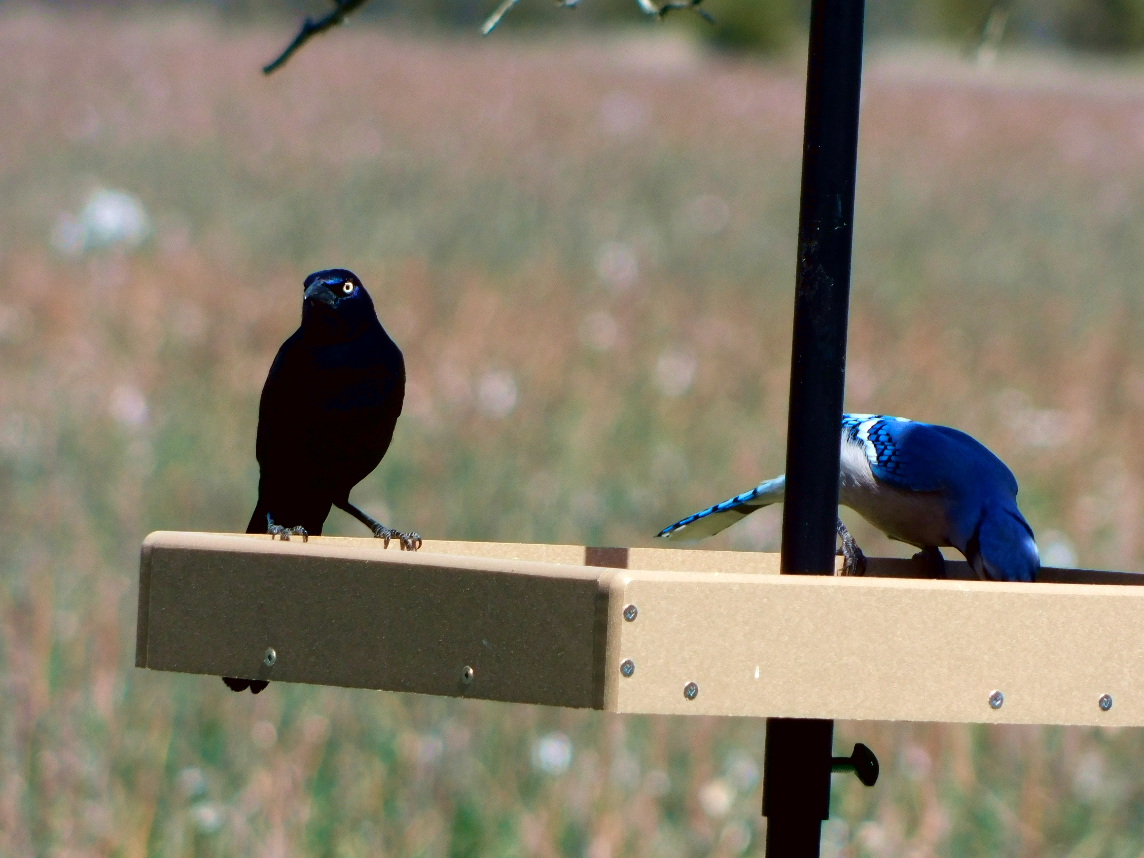 Common grackle and blue jay