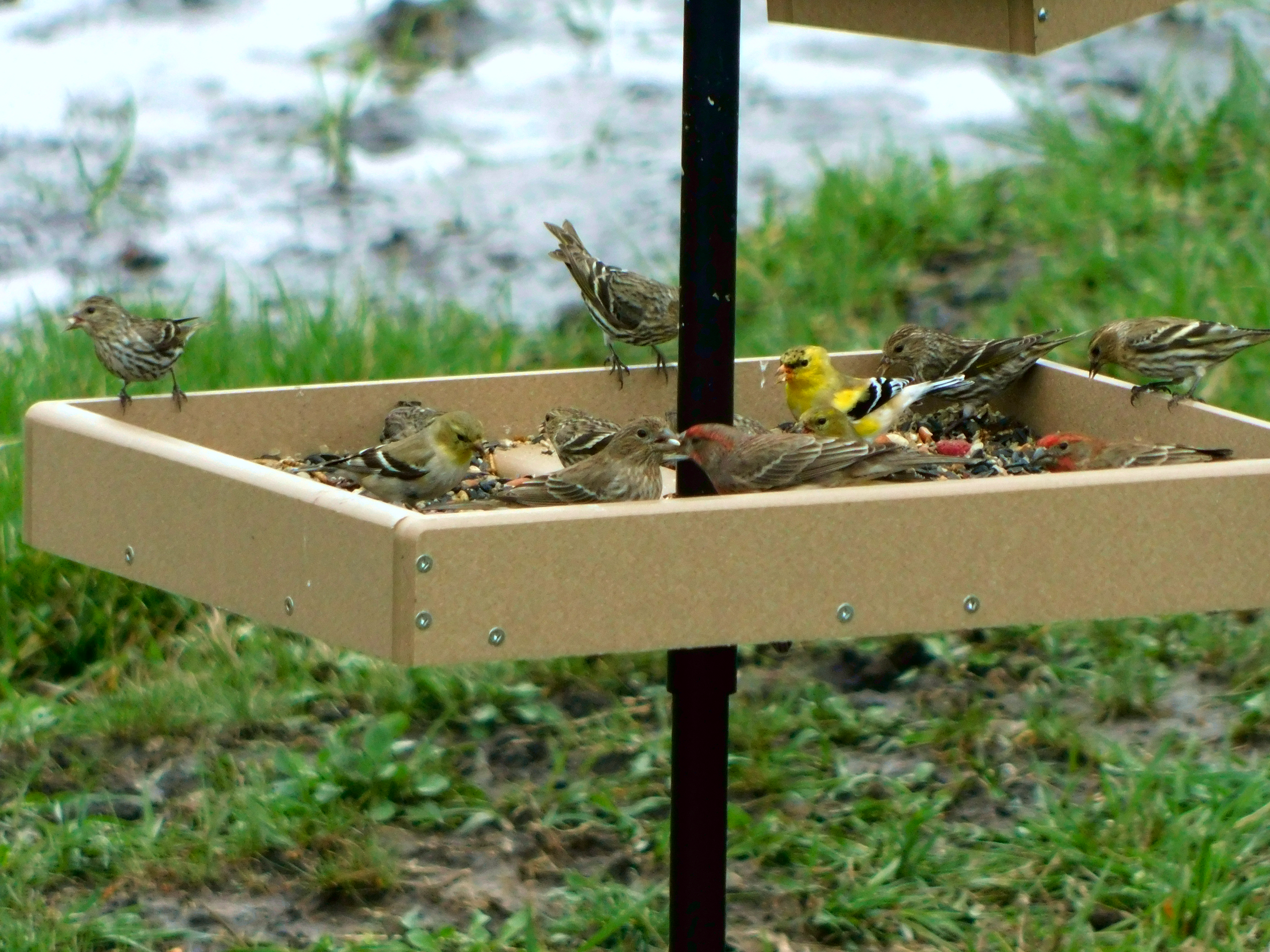 Various finches feed