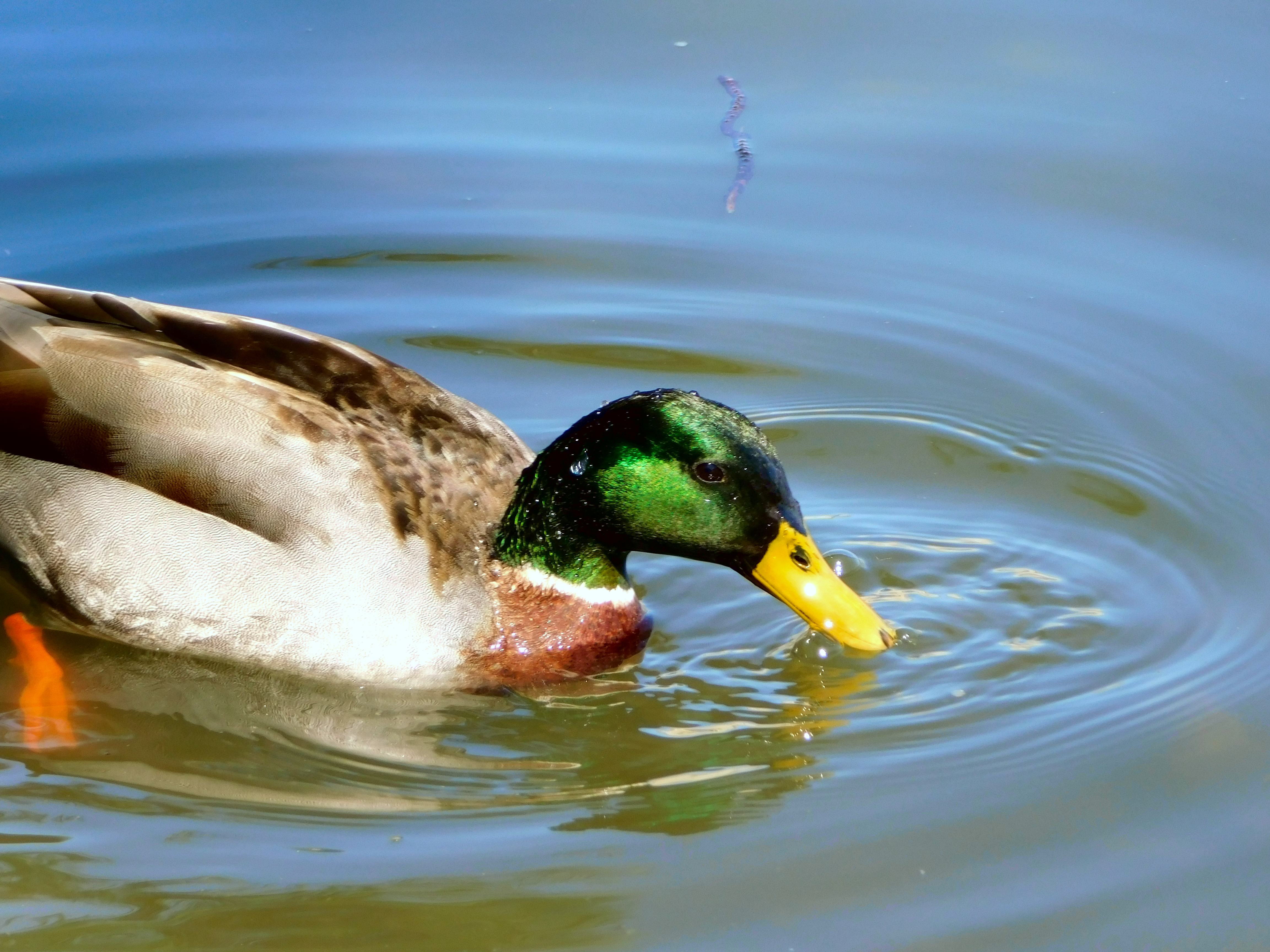 Male Mallard in a pond