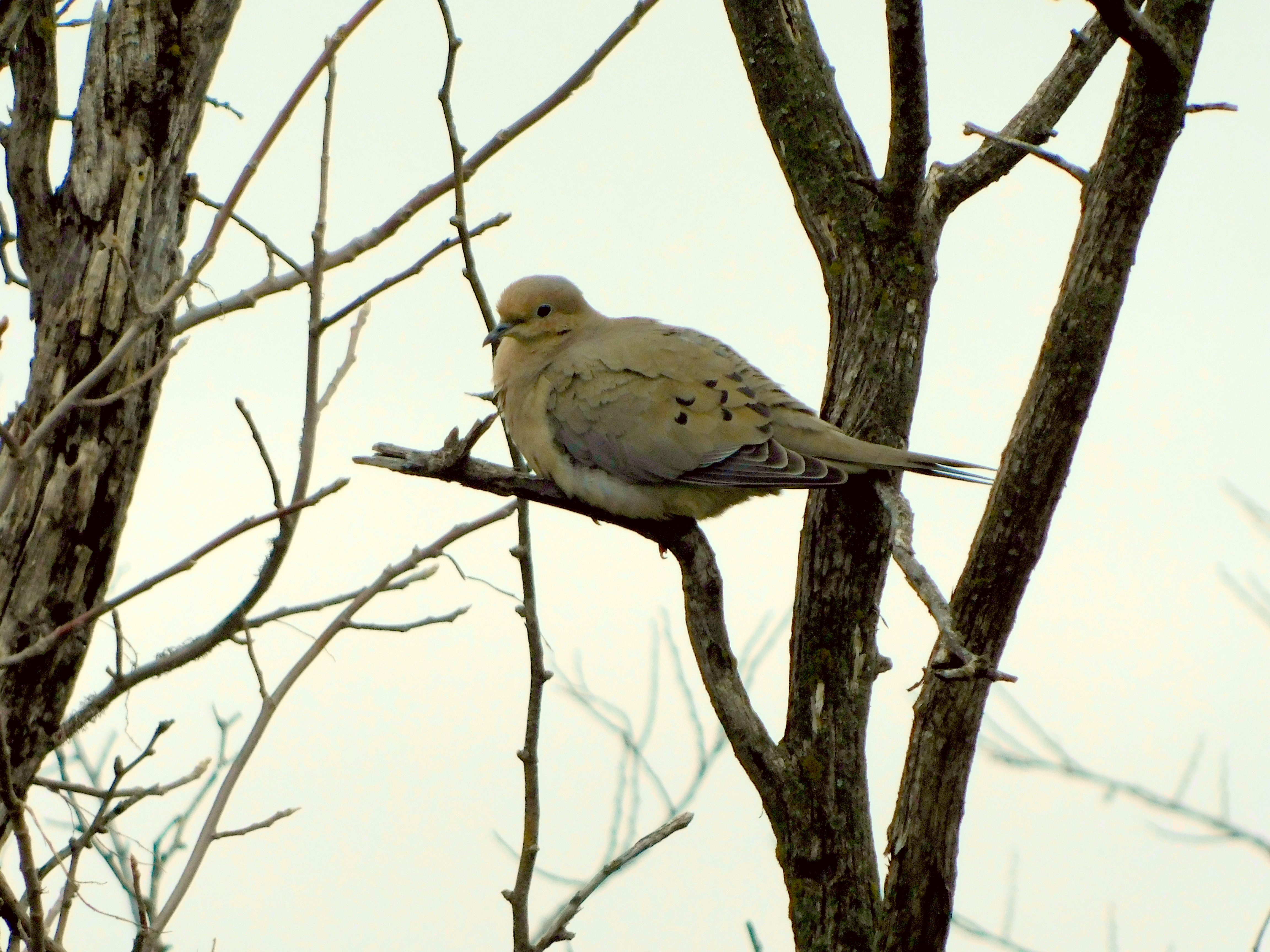 Large Mourning Dove resting in a tree