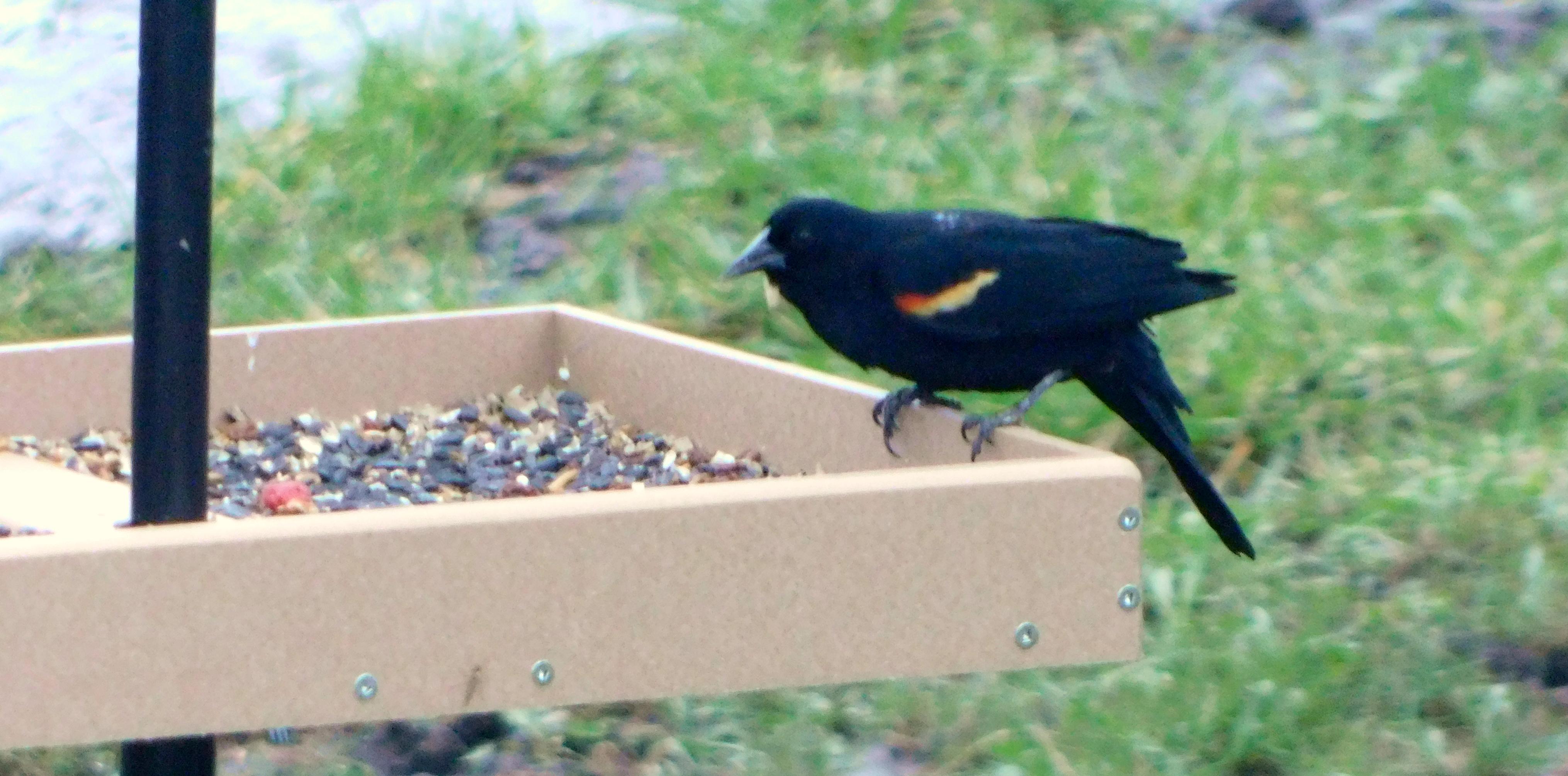 Red-winged Blackbird at feeder