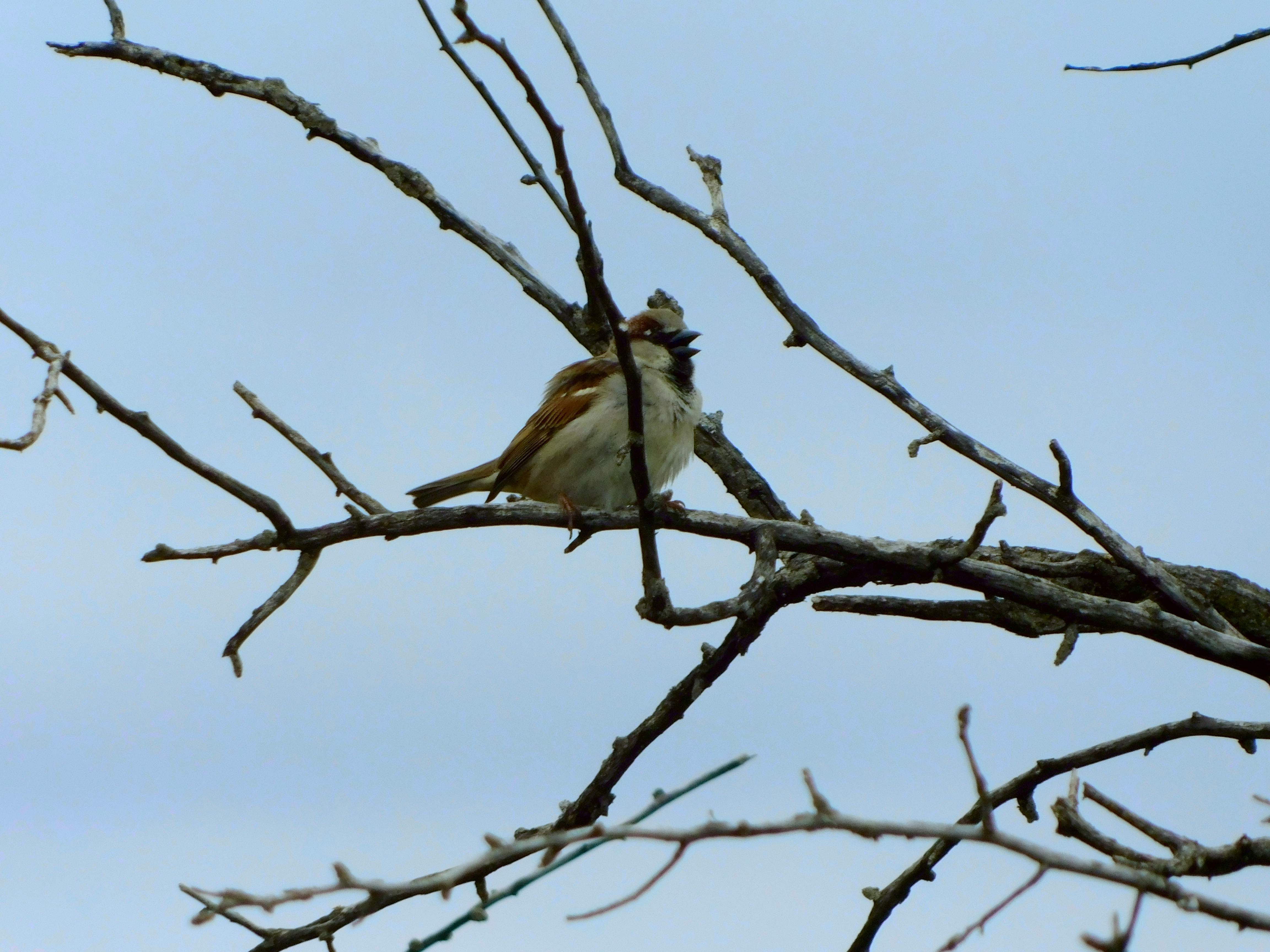 House sparrow in tree singing song