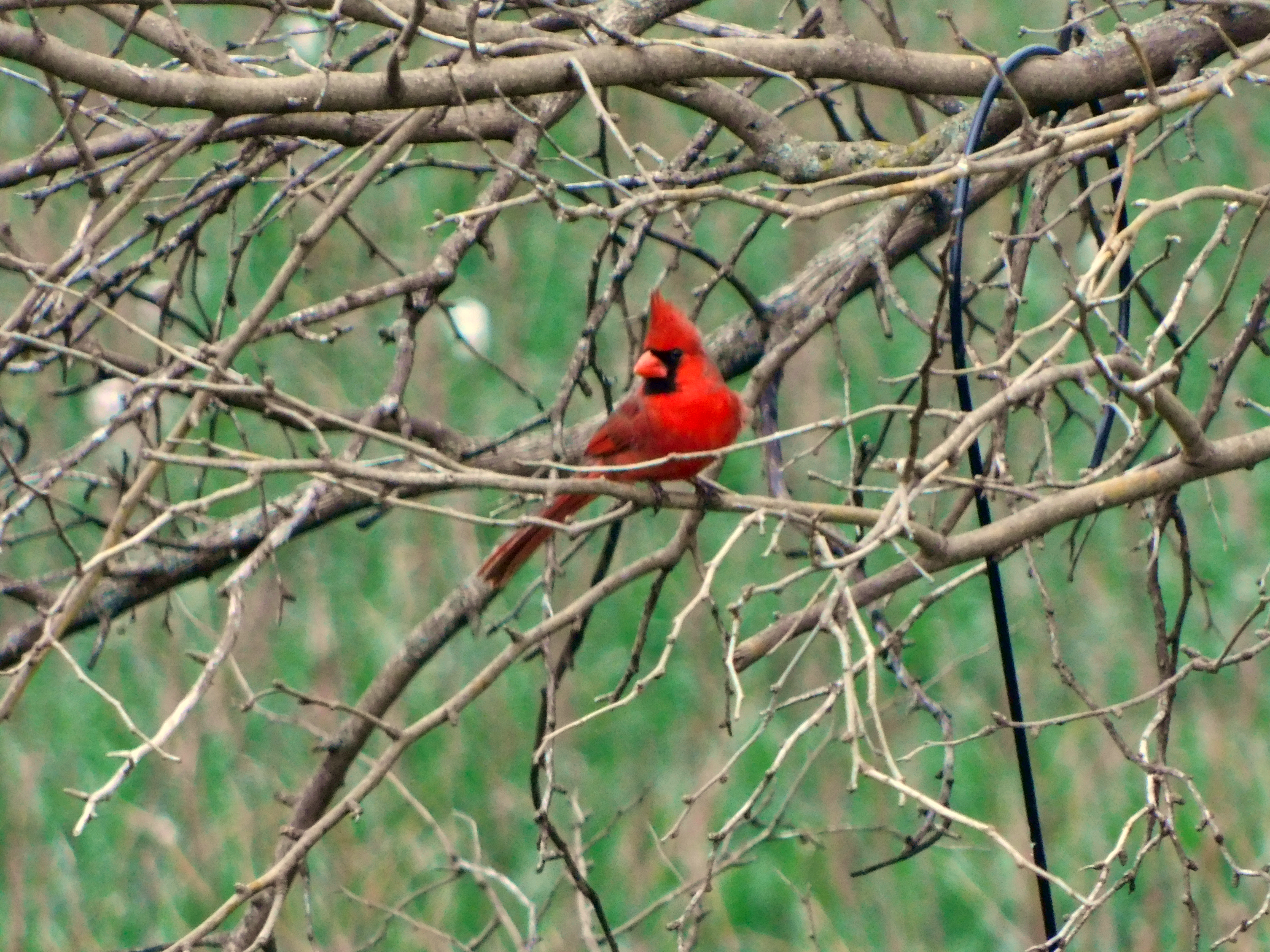 Male Northern Cardinal perched in a tree