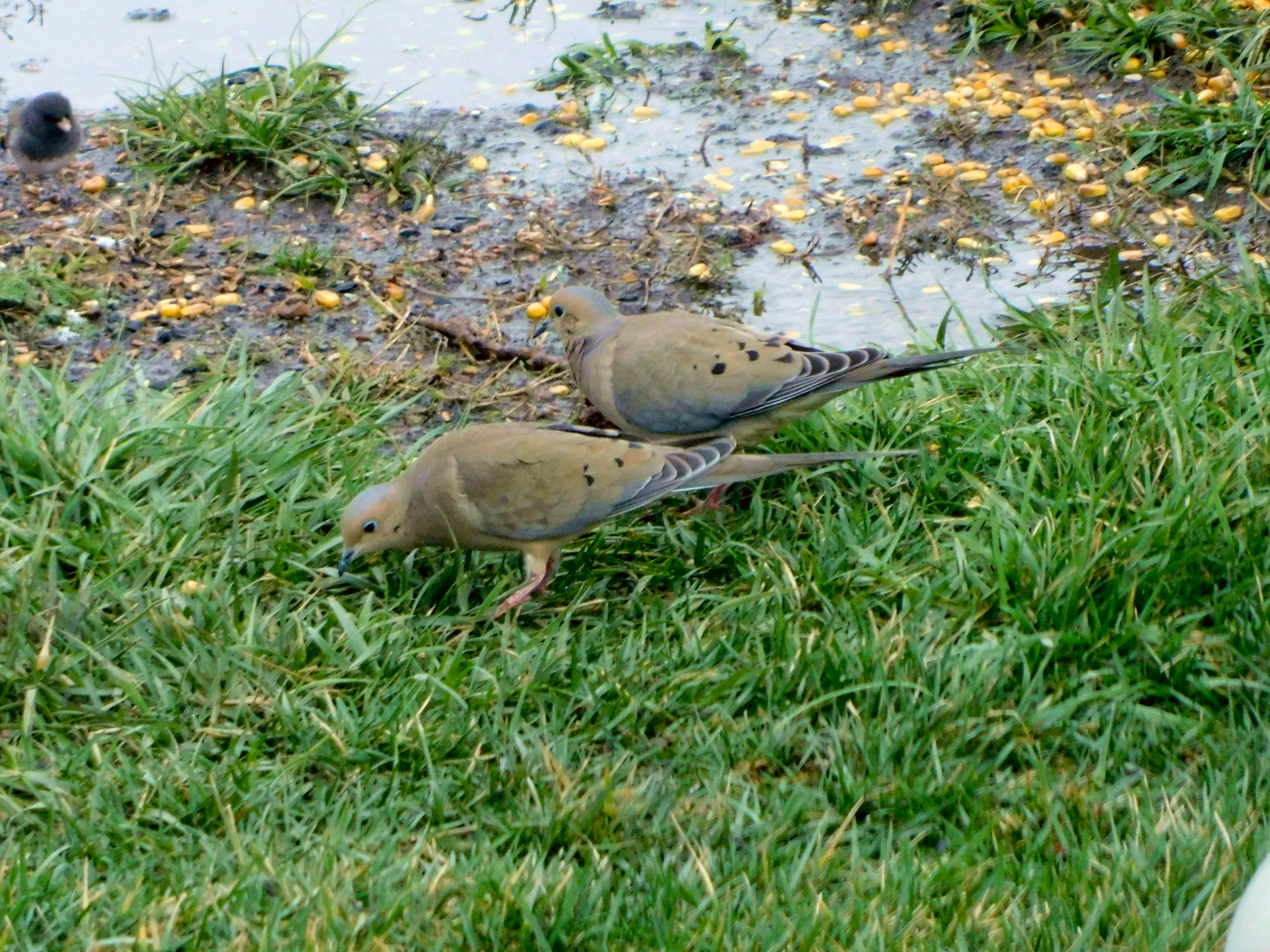 Two Mourning Doves