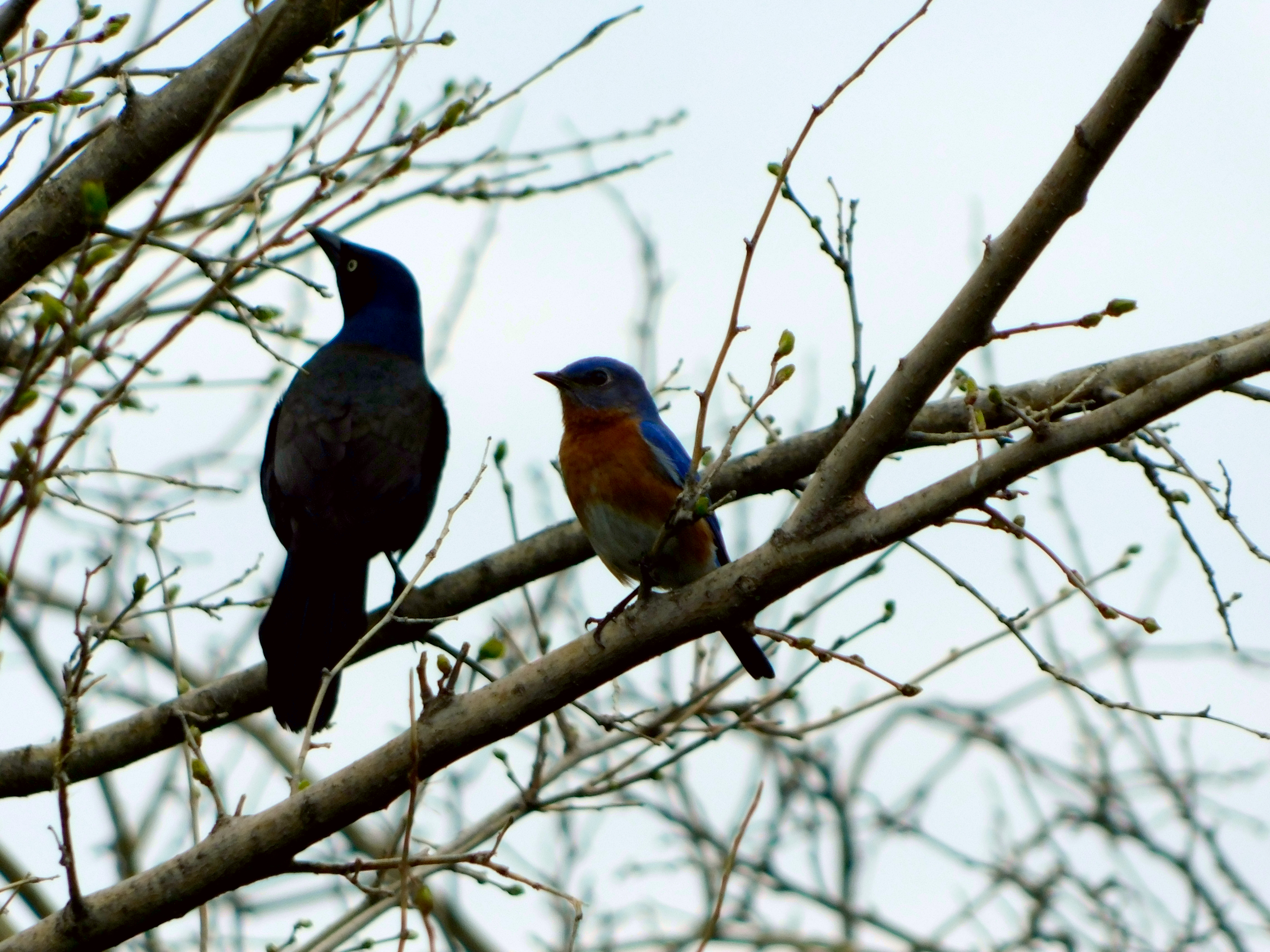 Eastern Bluebird and Common Grackle