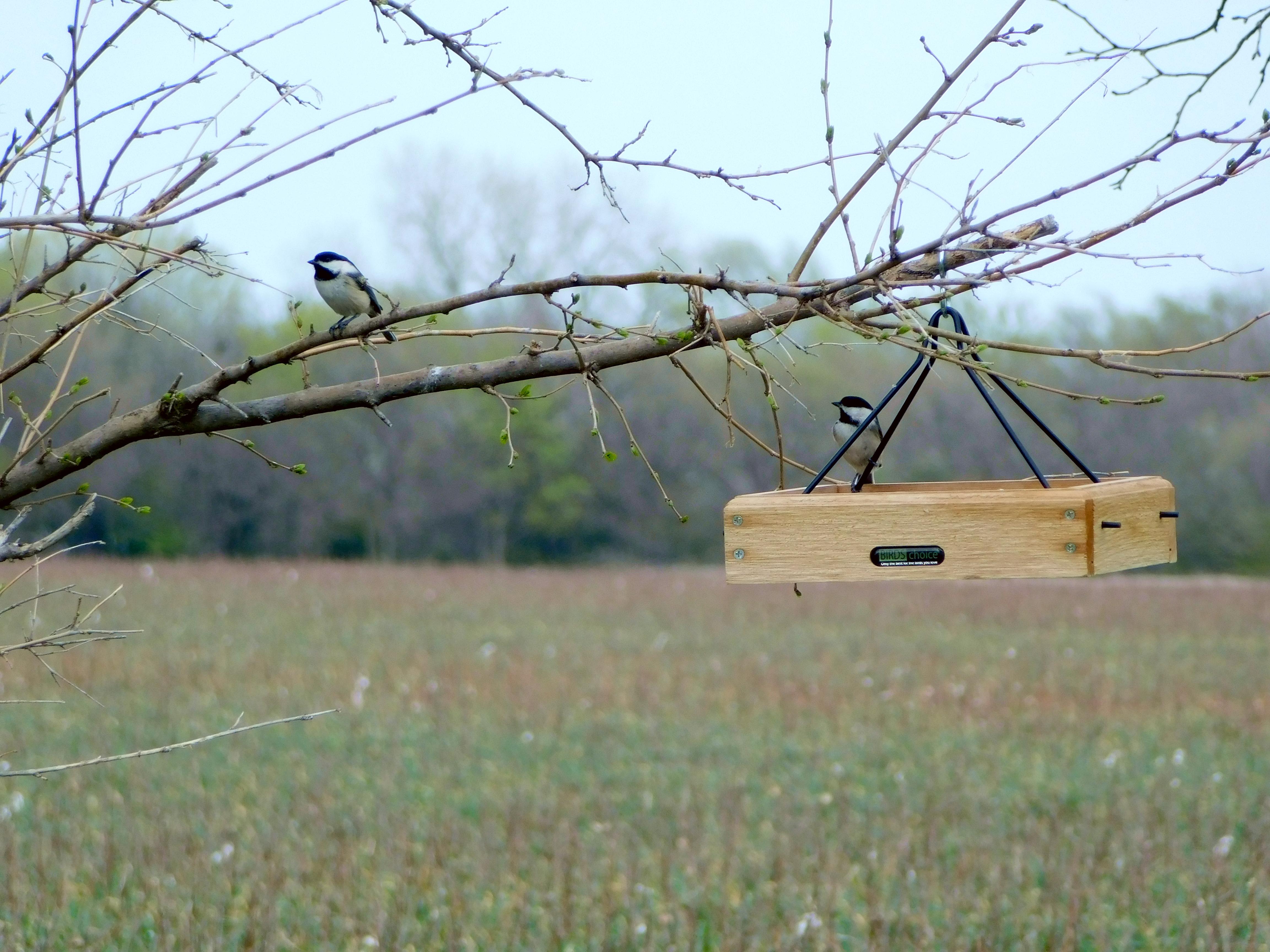 Two chickadees