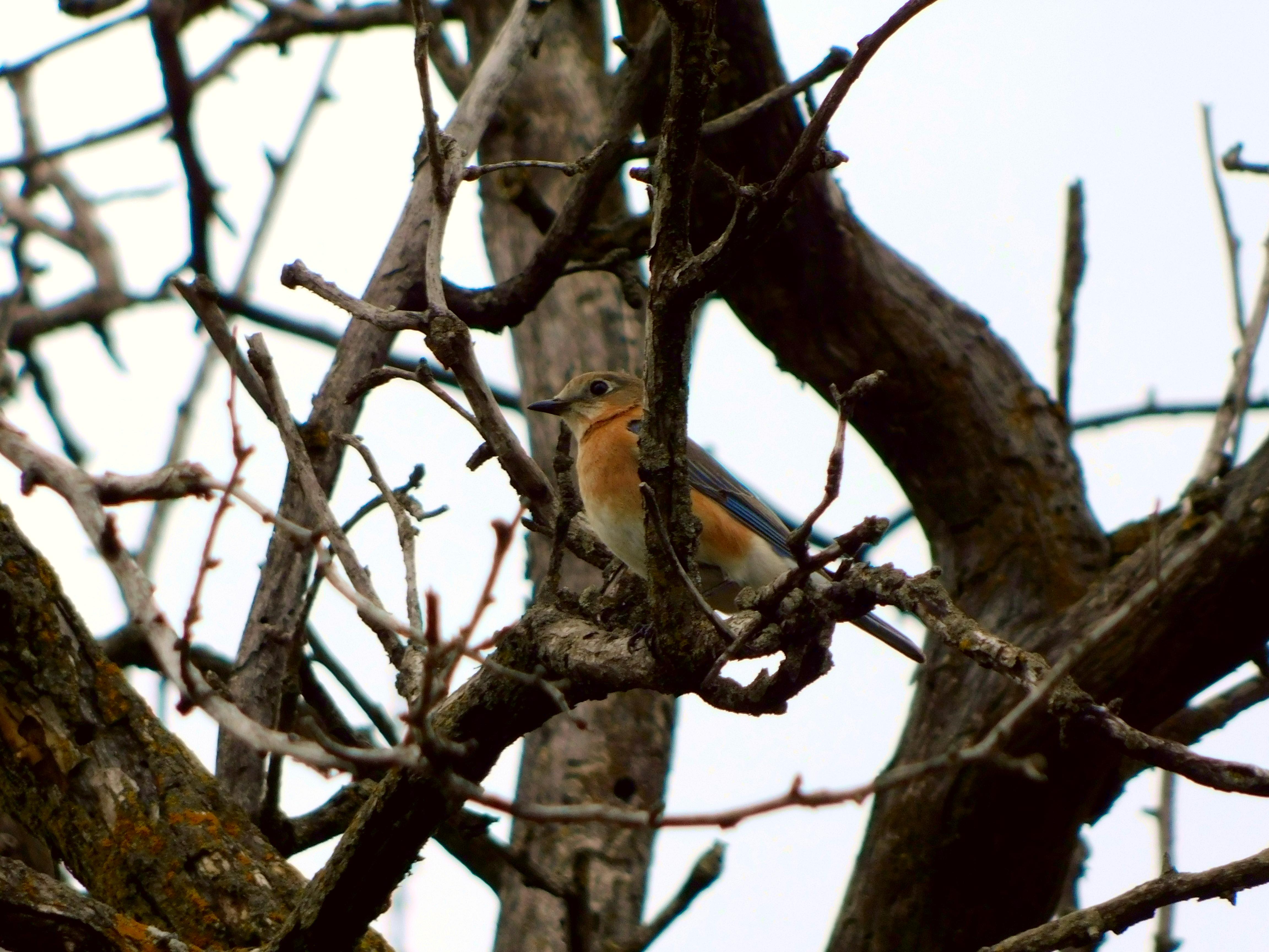 Bluebird in a tree