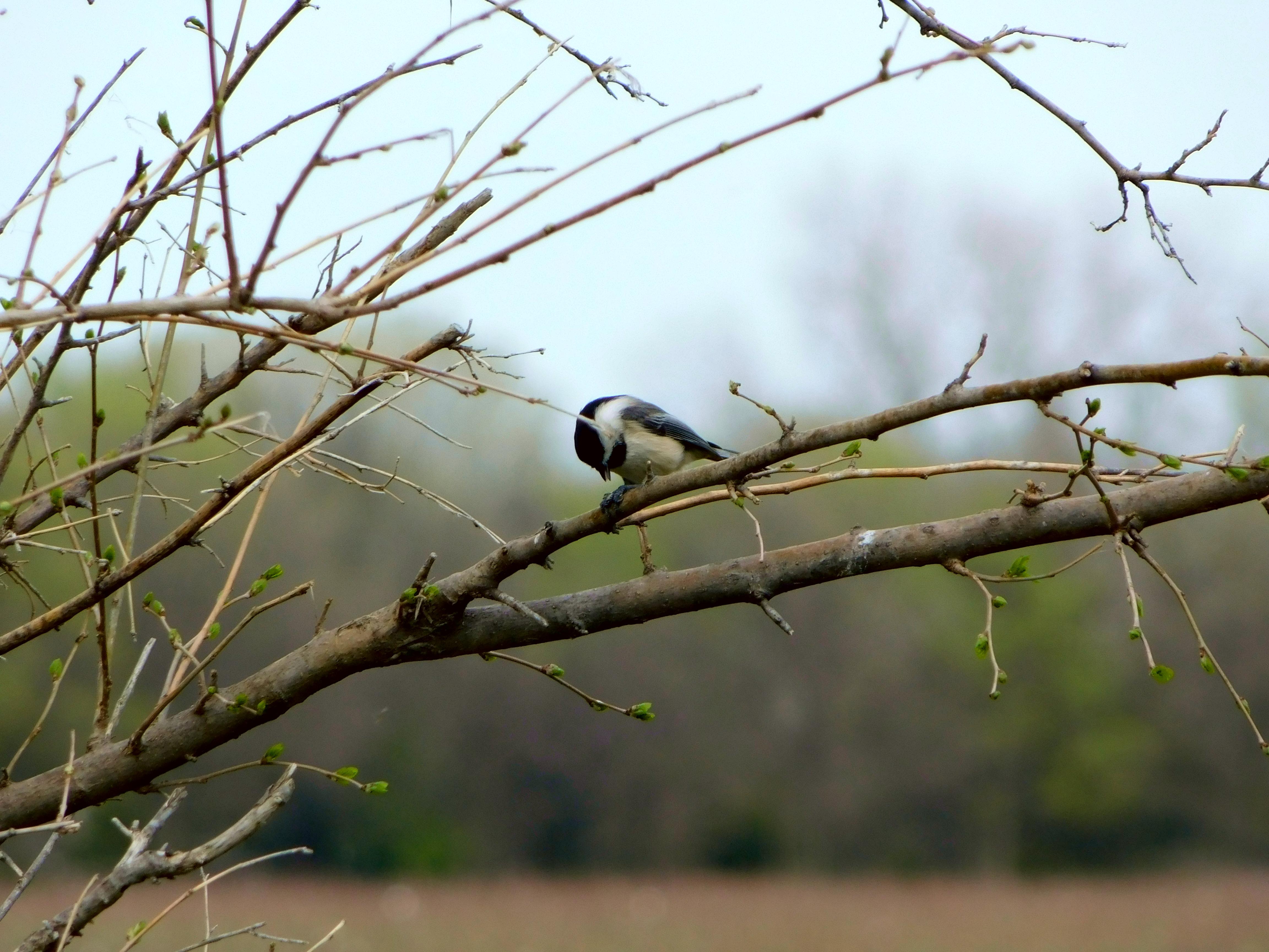 Chickadee opens a seed