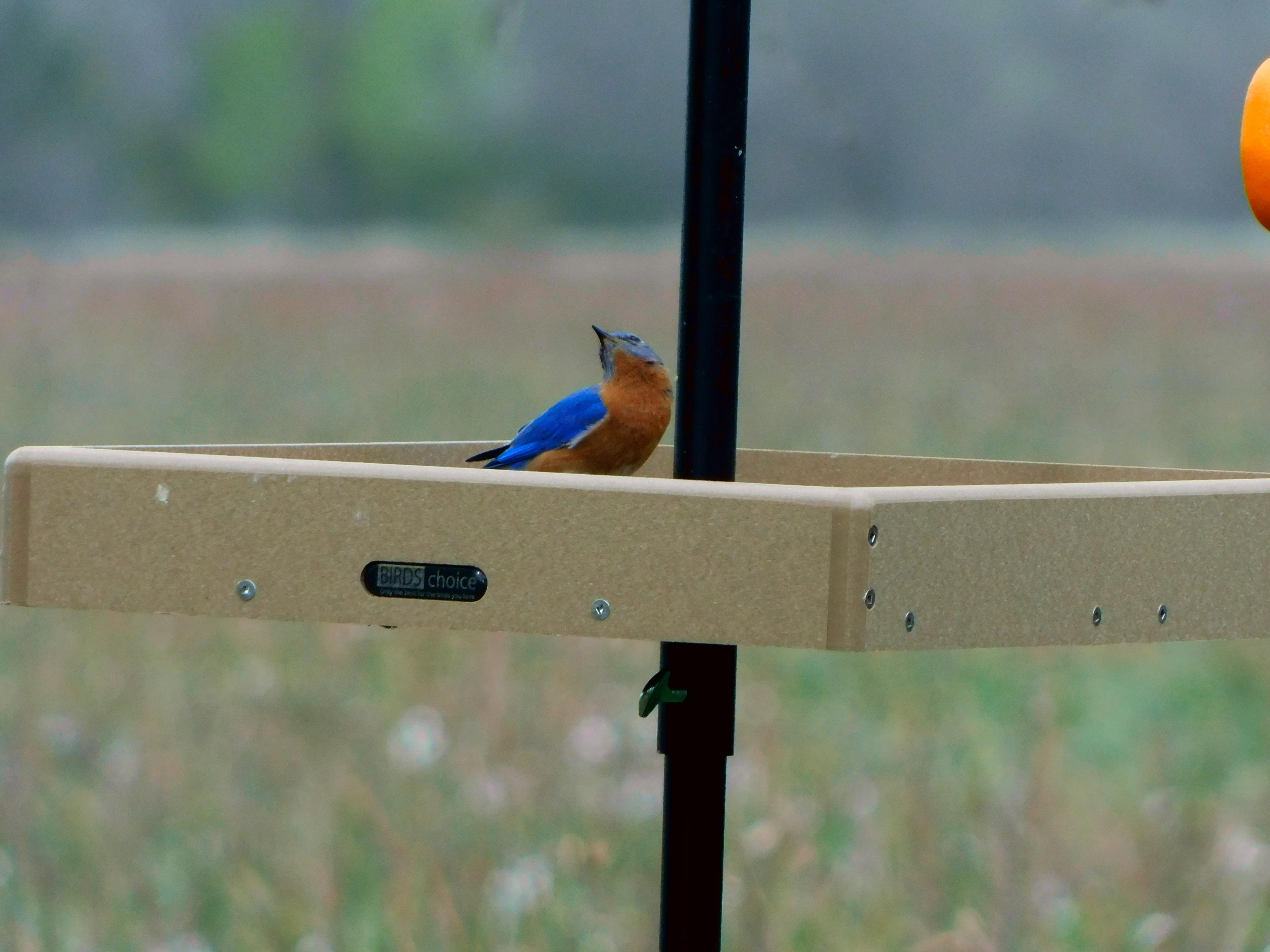 Silly Bluebird