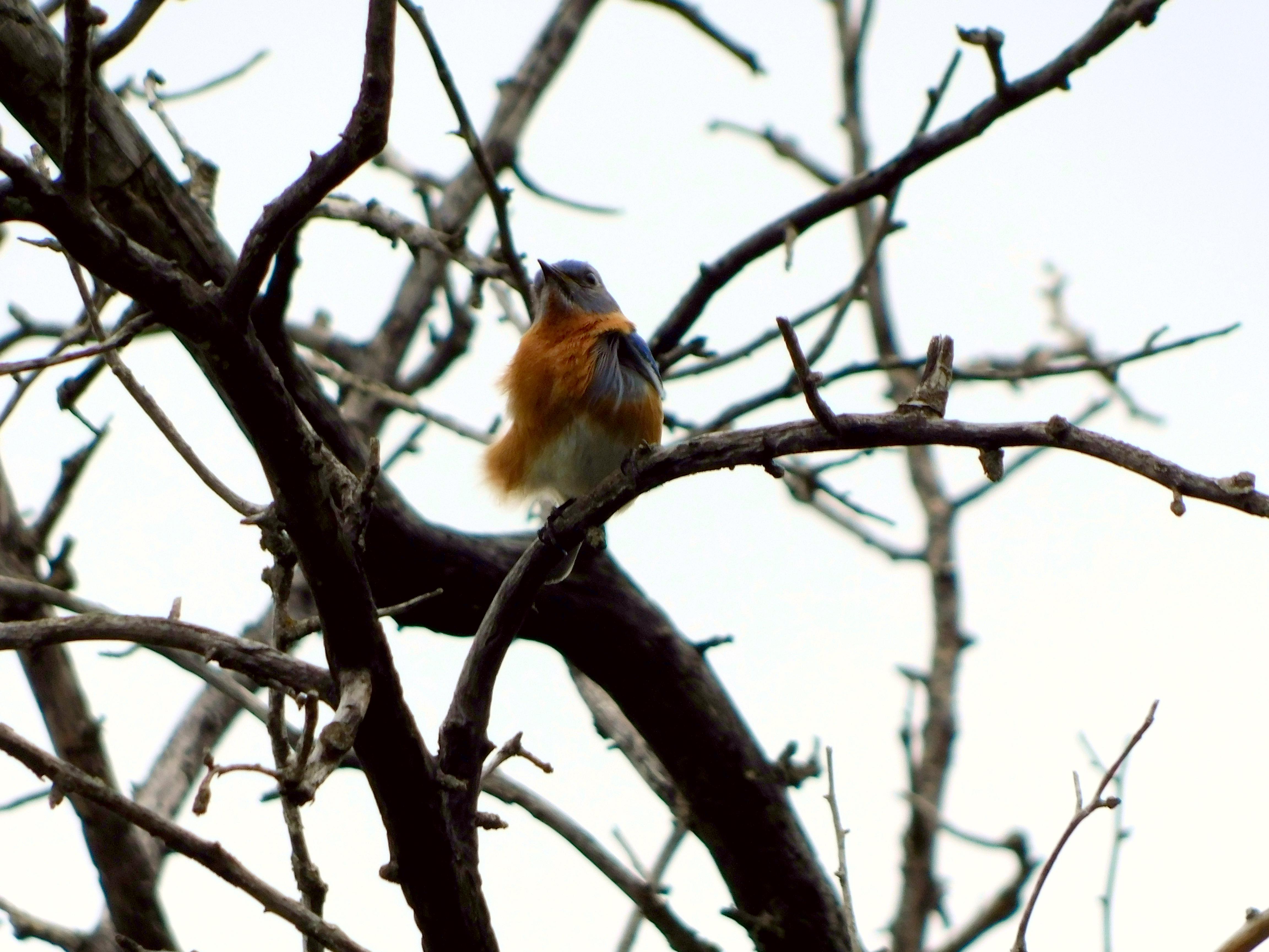 Windy Bluebird