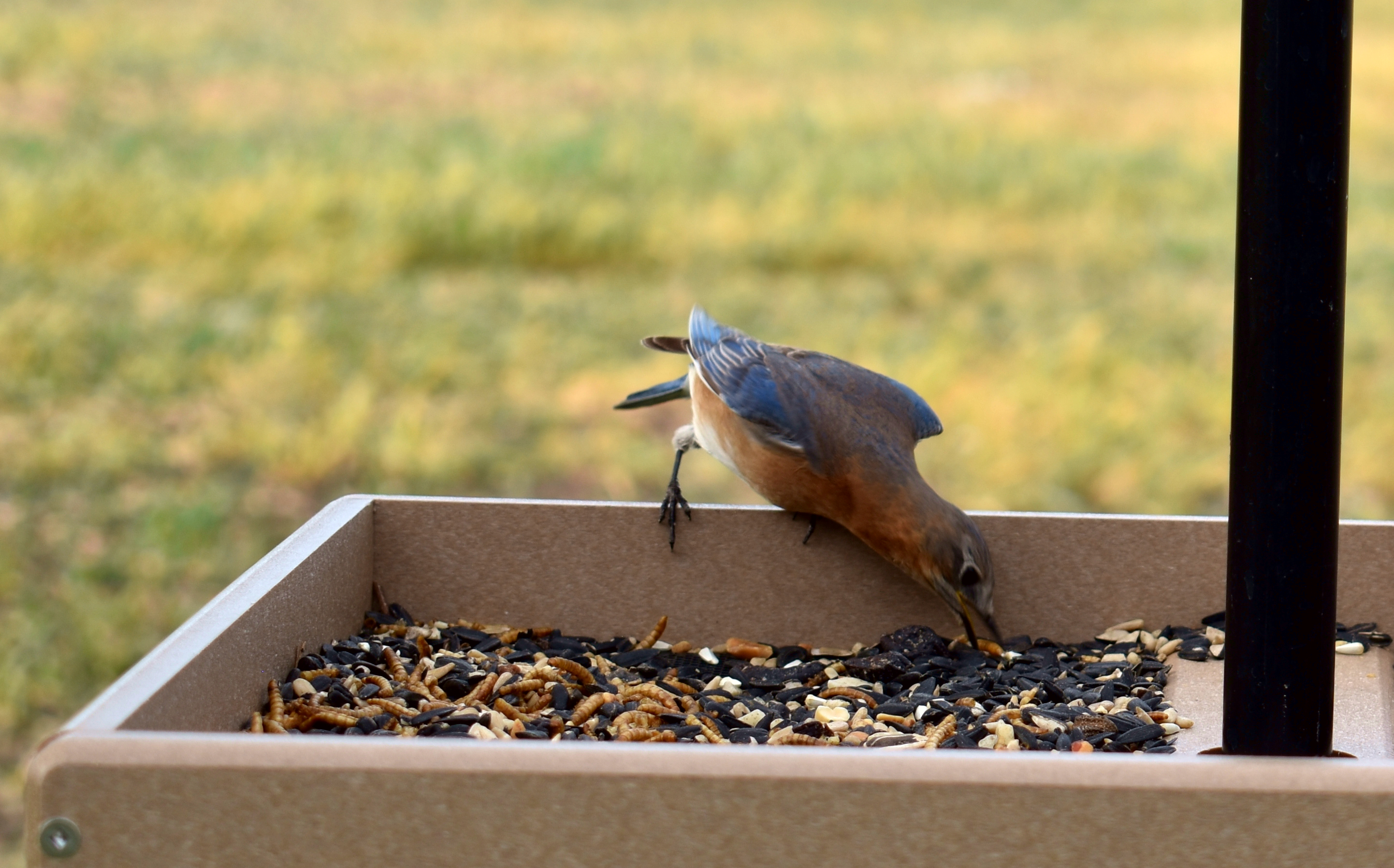 Eastern Bluebird Eating a Worm