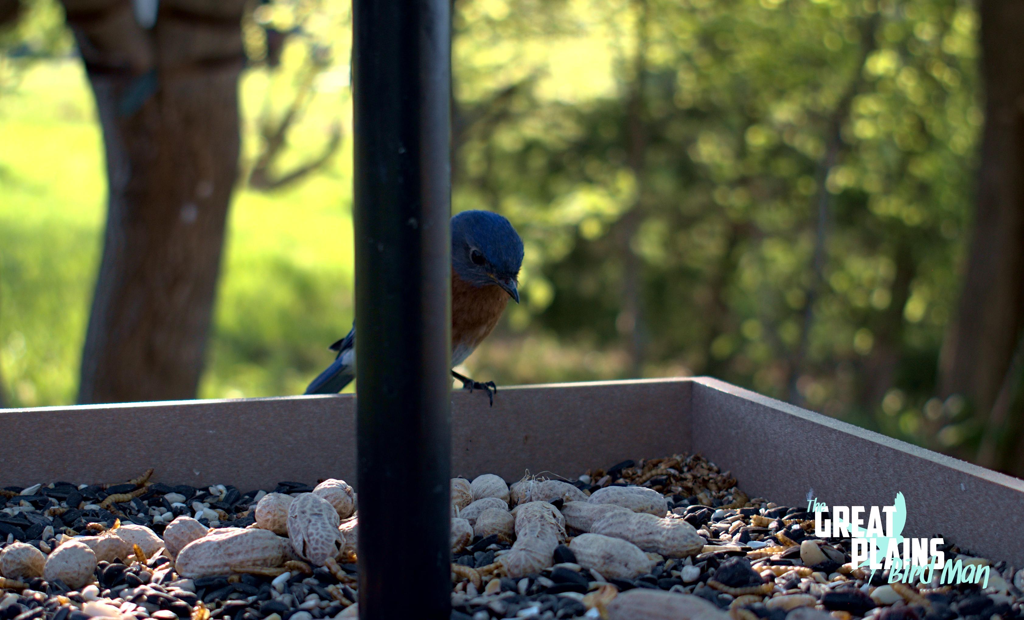 Mr. Bluebird Hides