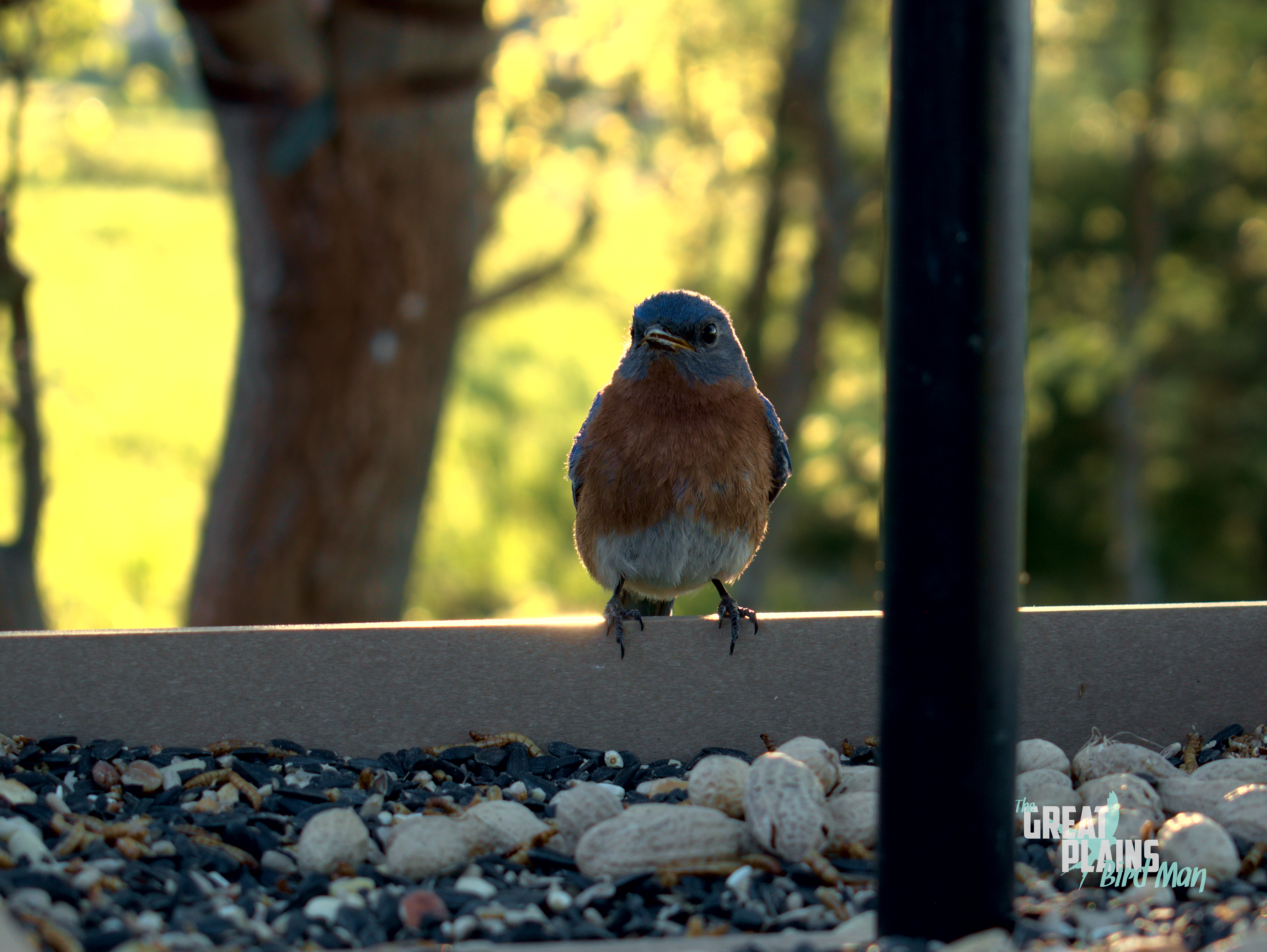 Mr. Bluebird is Back!