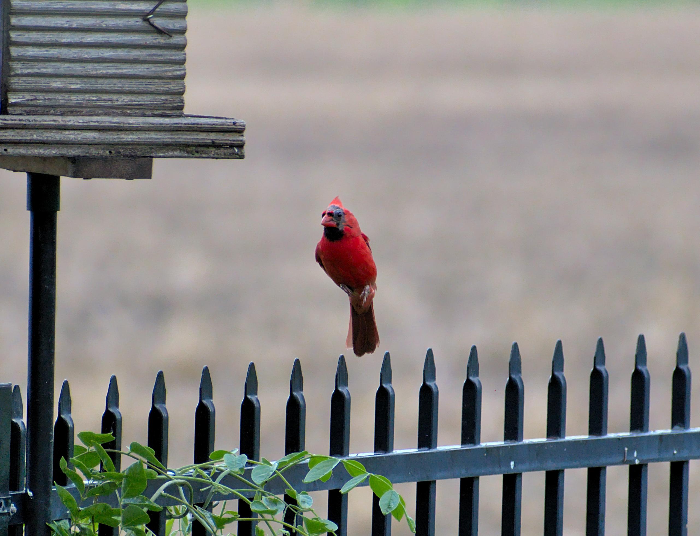 Levitating molting Cardinal
