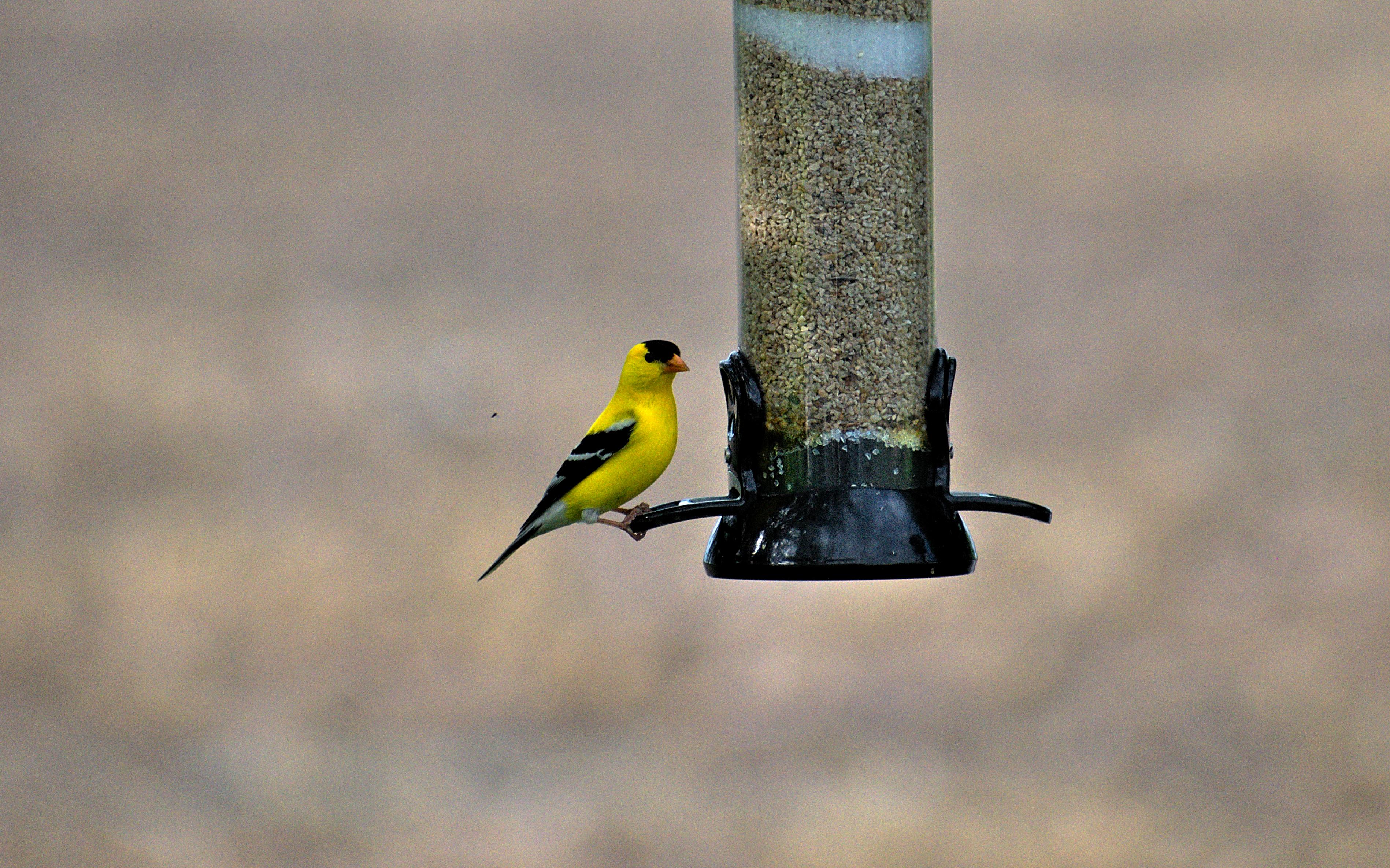 Goldfinch at Feeder
