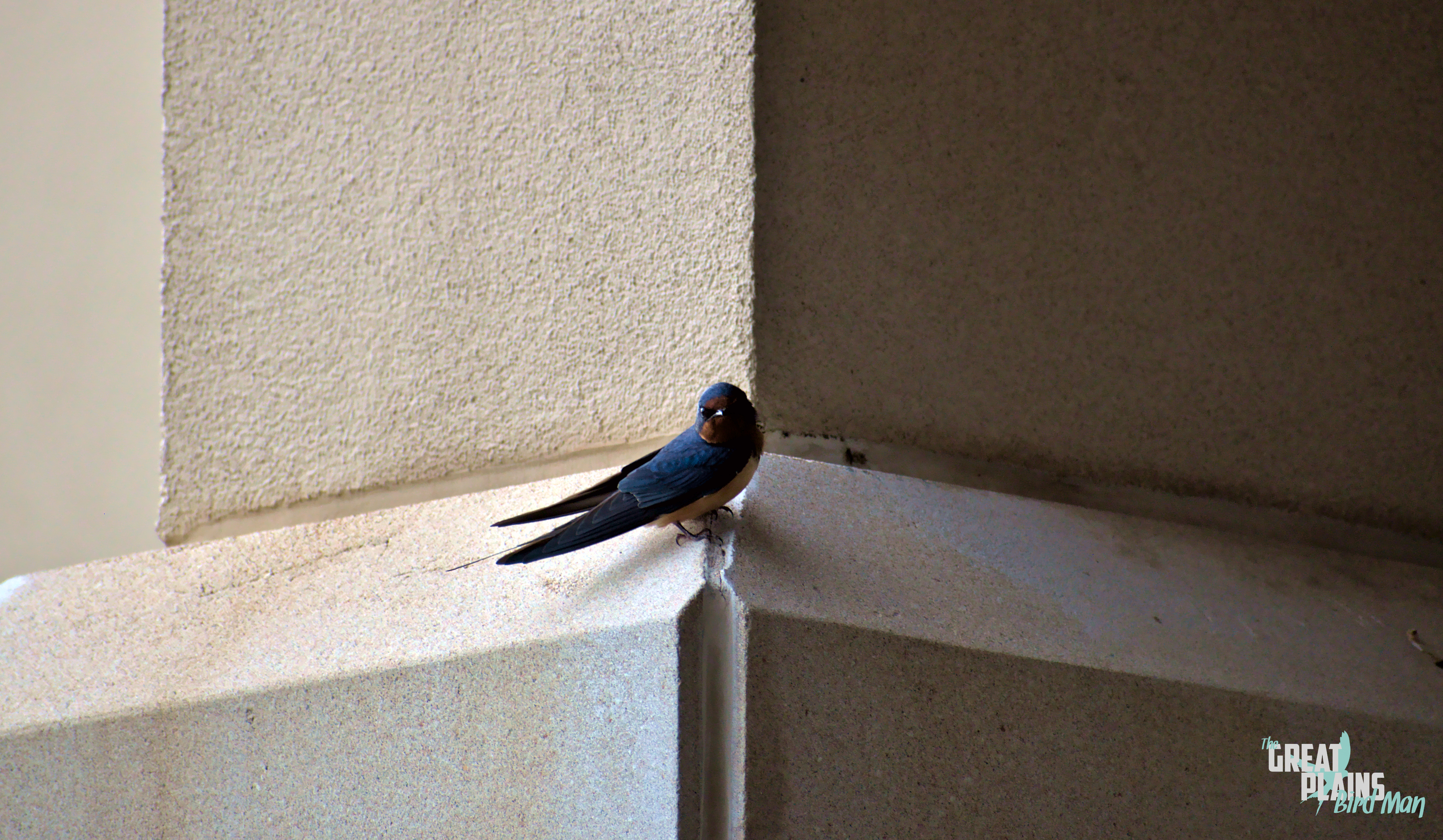 Curious Barn Swallow