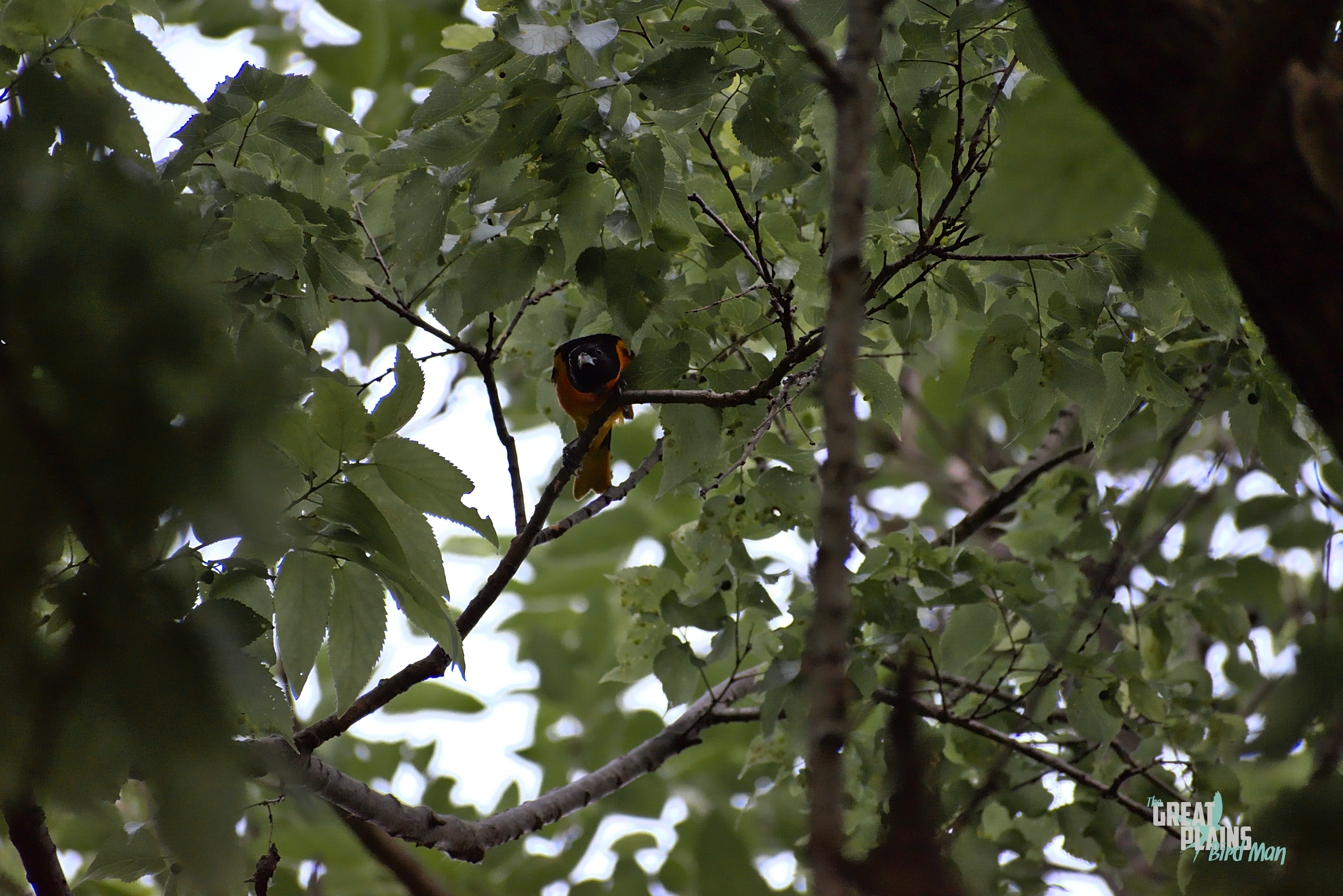 Baltimore Oriole Looks On
