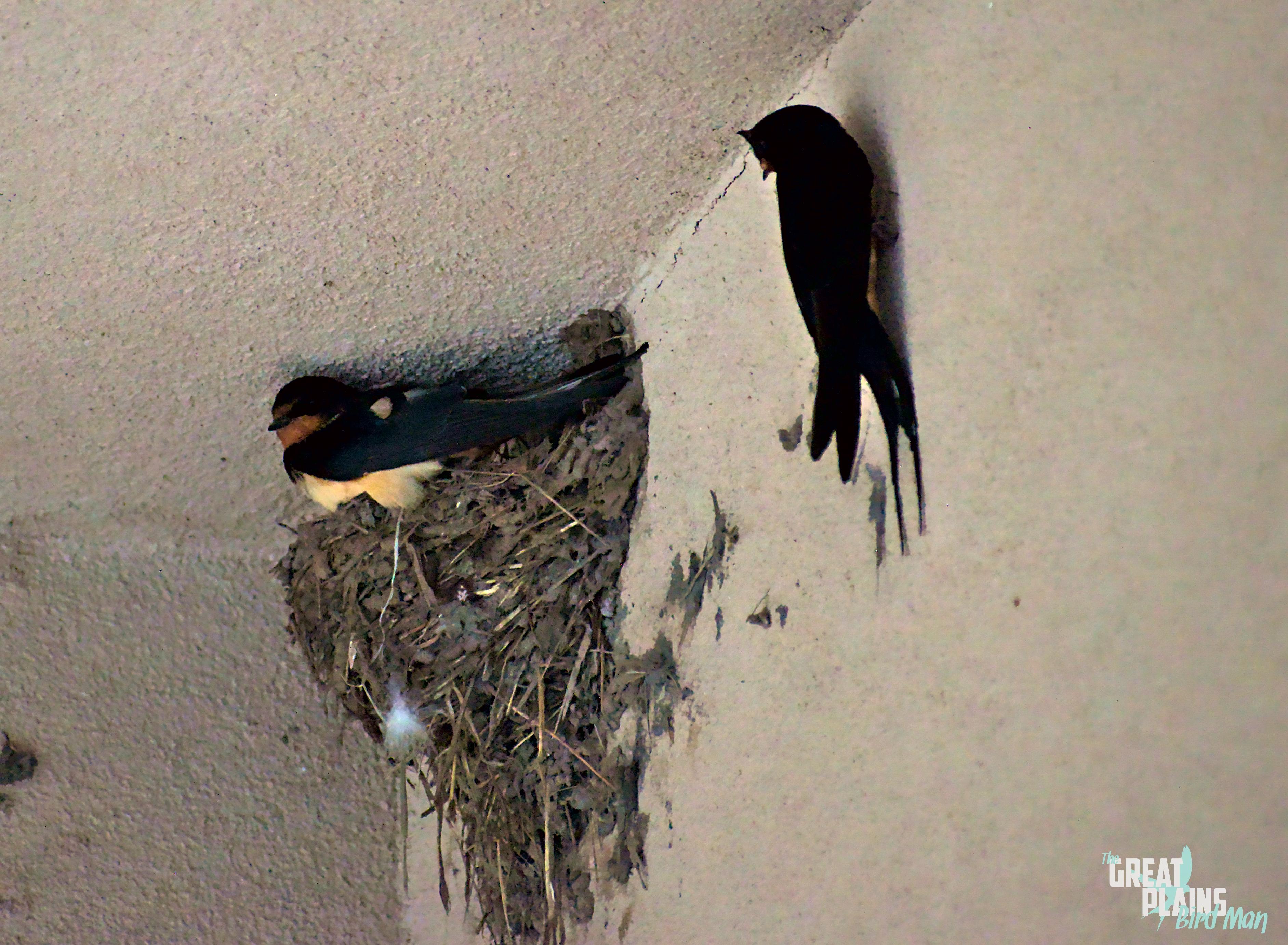 Barn Swallow Couple