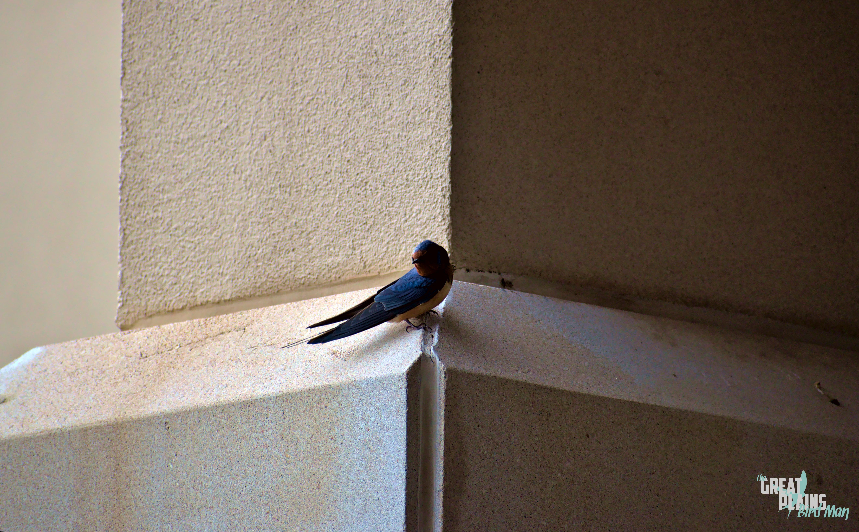 Noir Barn Swallow