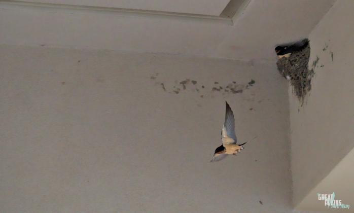 Barn Swallow Flying