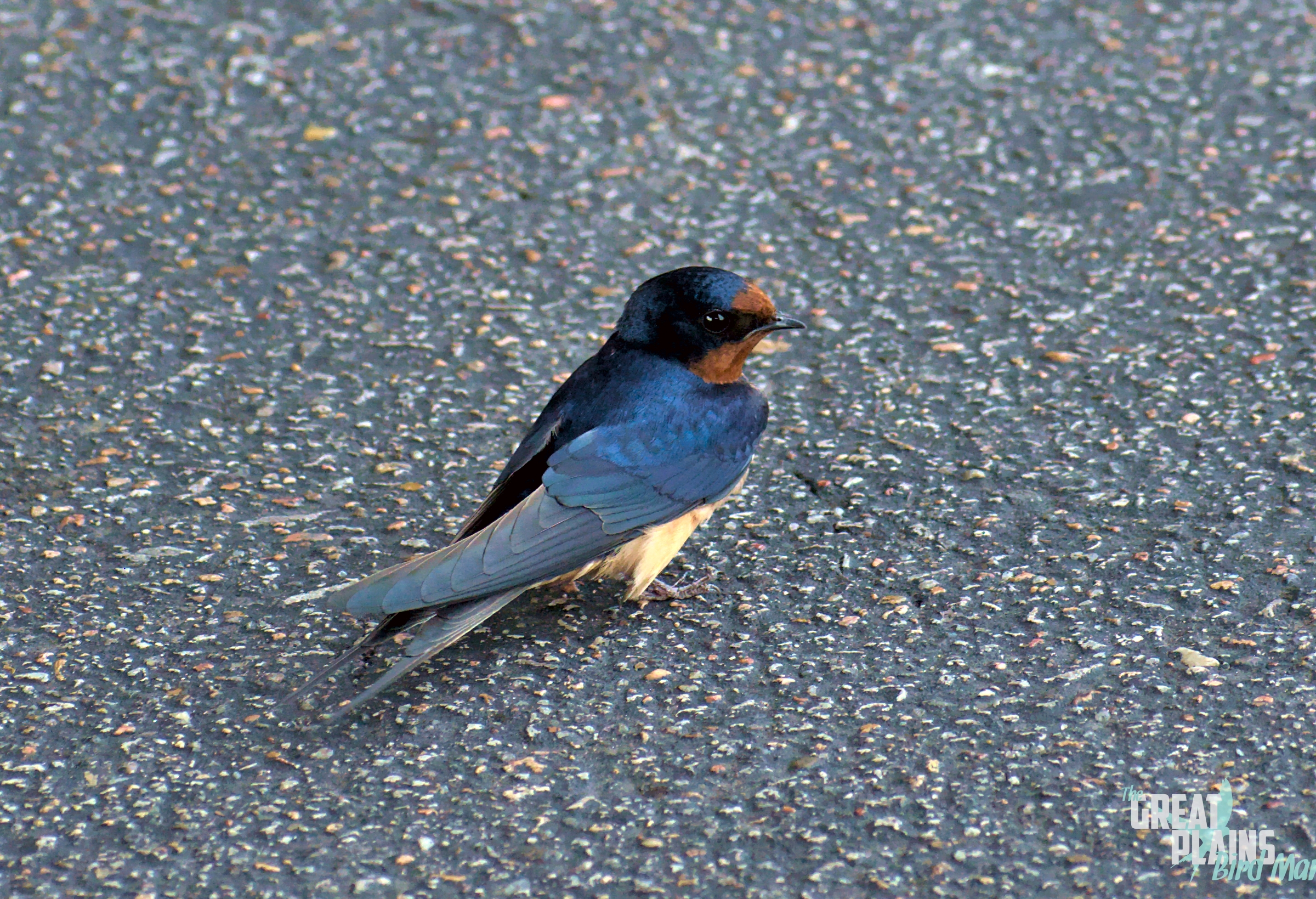 Barn Swallow on the Ground