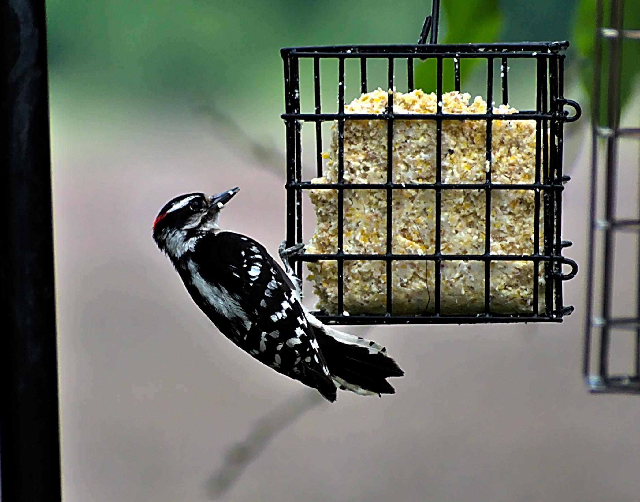 Male Downy Woodpecker Eating Suet