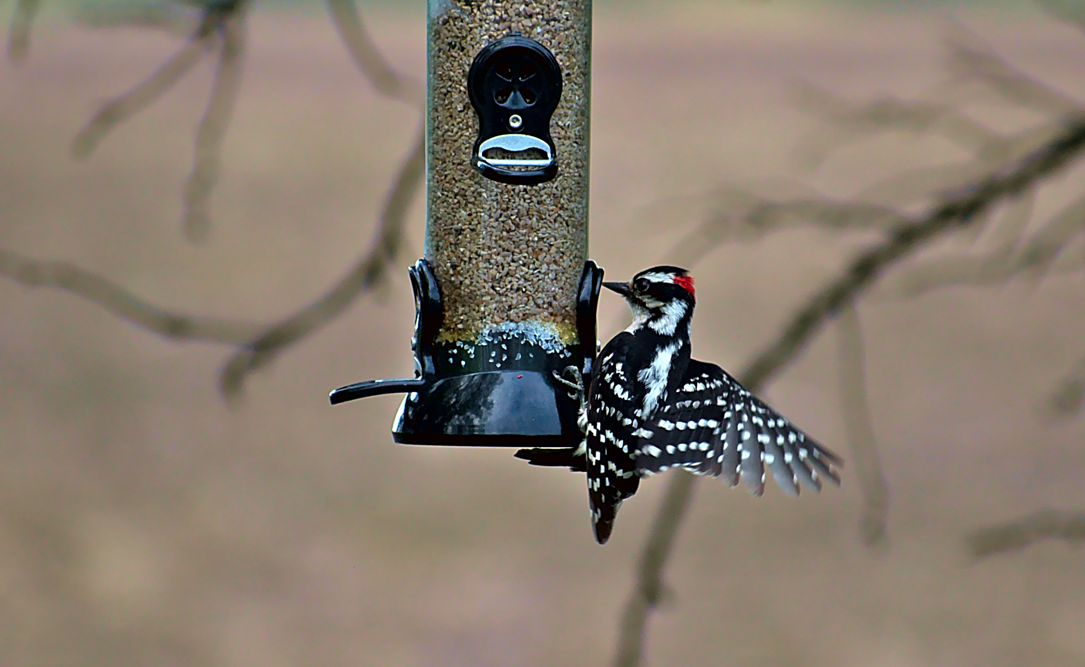 Male Downy Woodpecker Displaying Wings